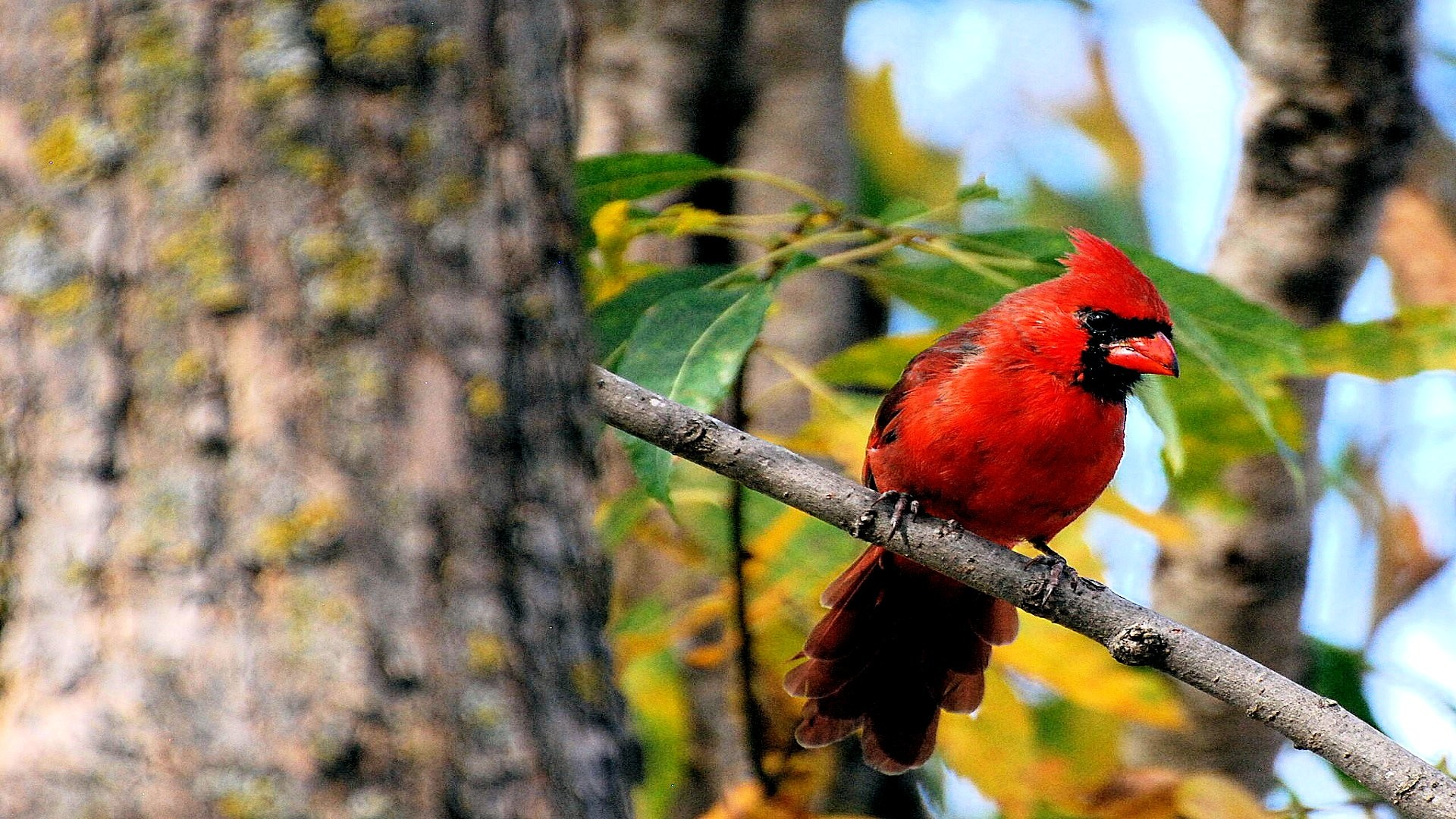 Res: 1920x1080, Tree, Leaf, Arizona Cardinals, Northern Cardinal, Snow HD Wallpaper,  Animals Picture, Background and Image