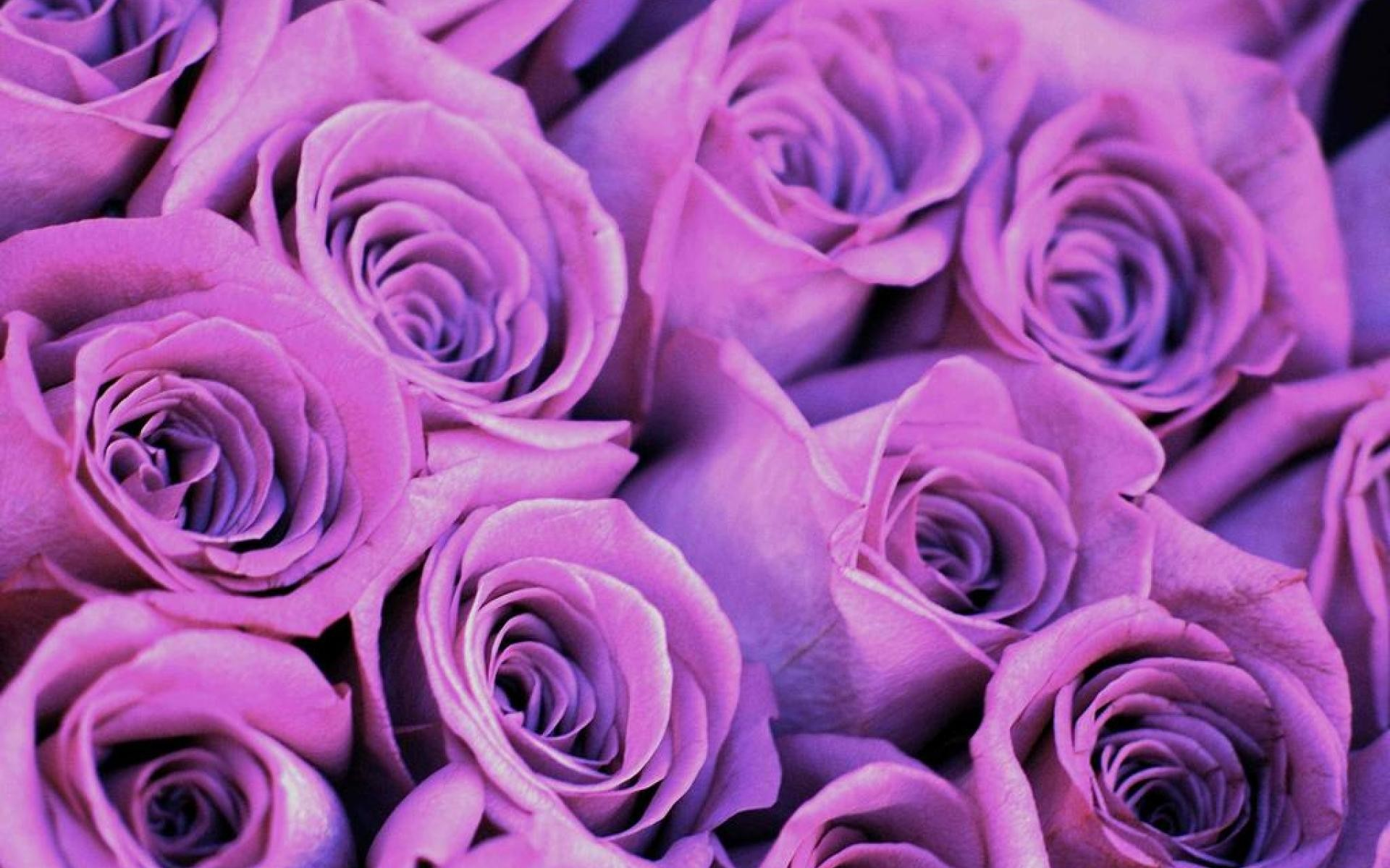Wallpaper Of Purple Roses 67 Images