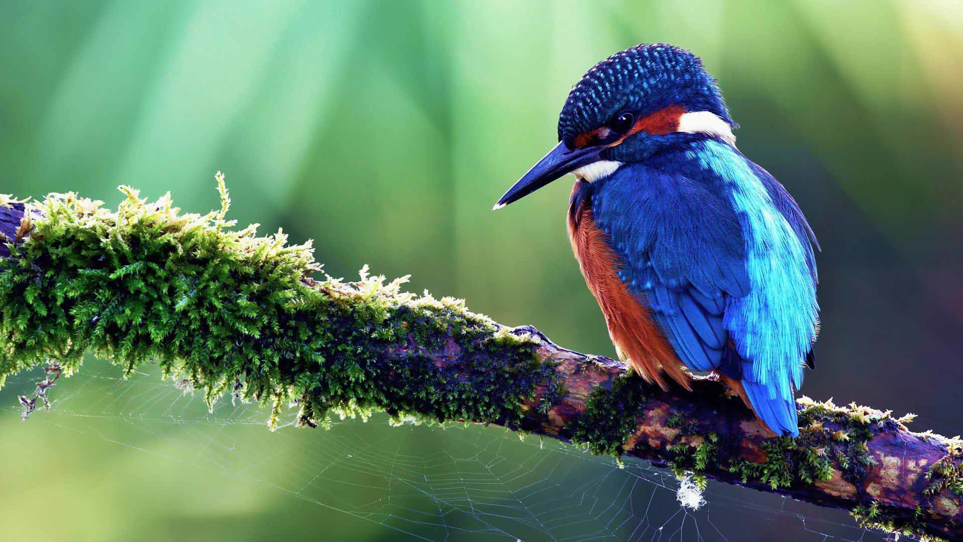 1920x1080 Images For > Blue Bird Of Paradise Wallpaper