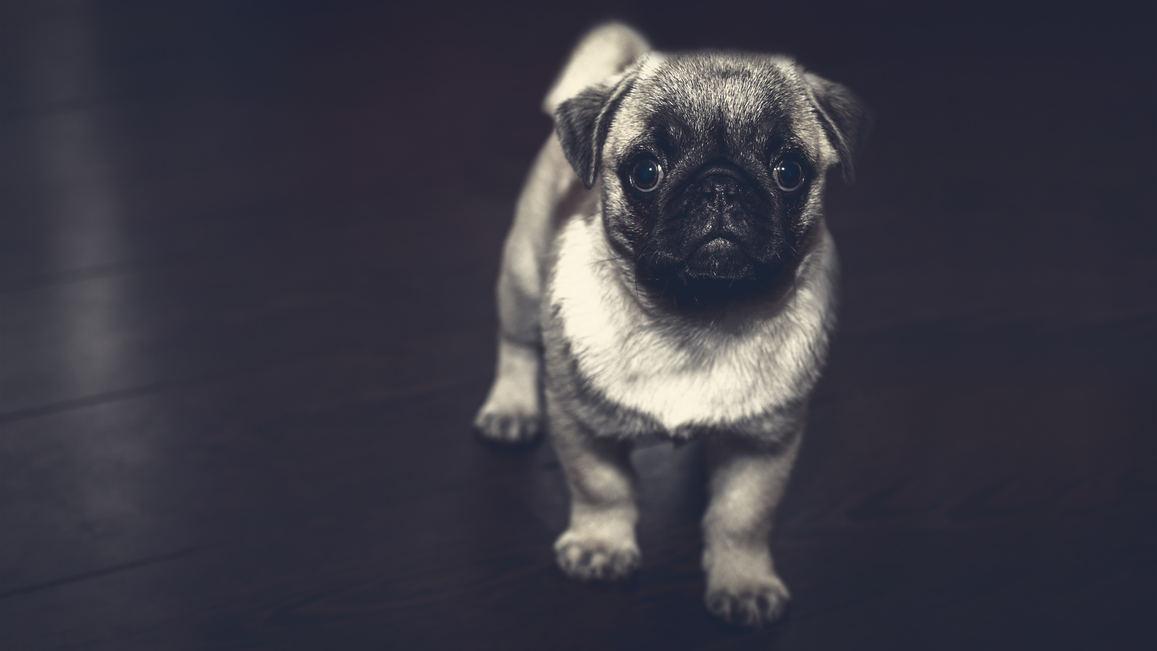 3840x2160 Pug Puppy Chromebook Wallpaper .