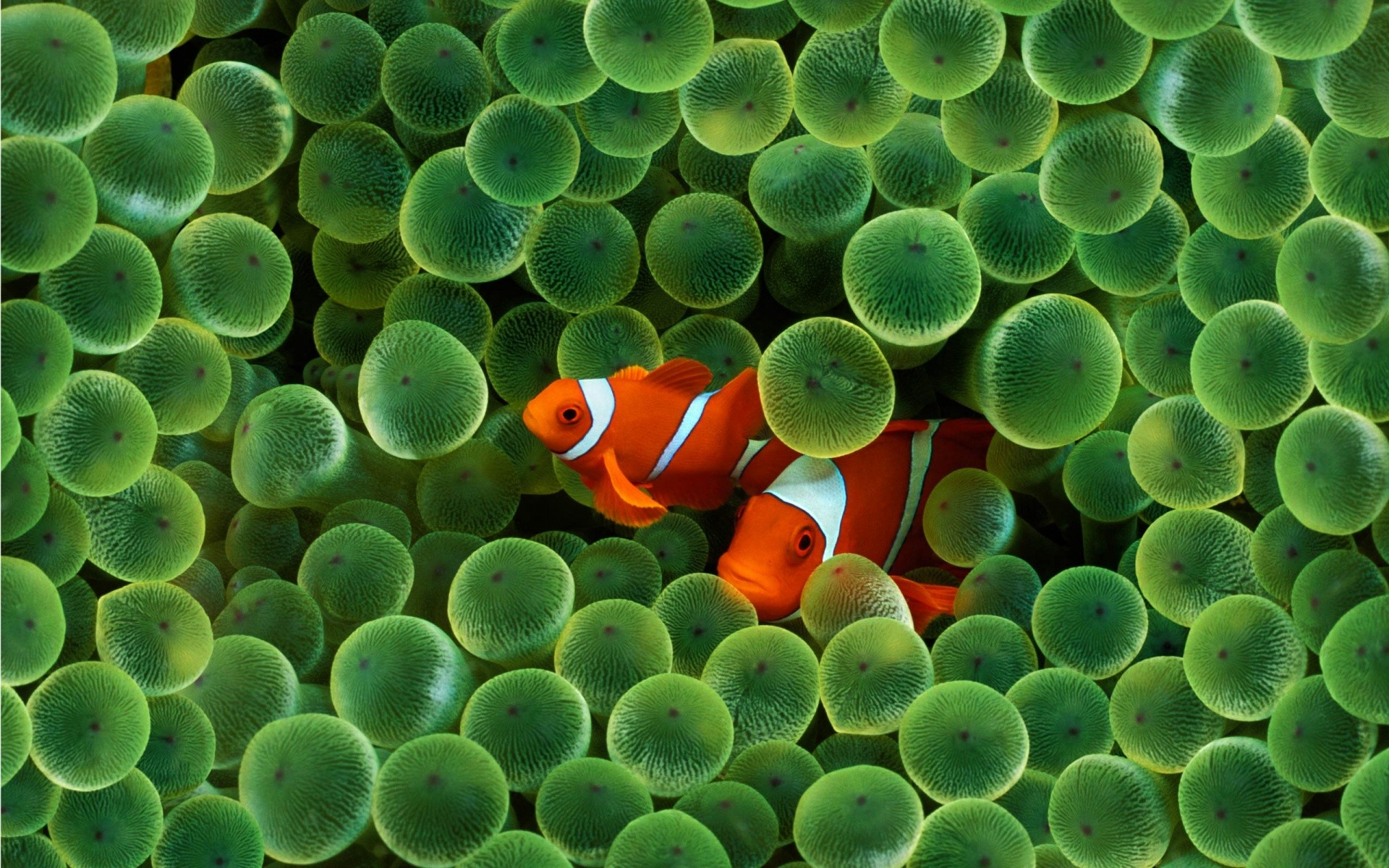 1920x1200 Apple Inc Wallpaper - iPhone Clown Fish Wallpapers - HD Wallpapers .