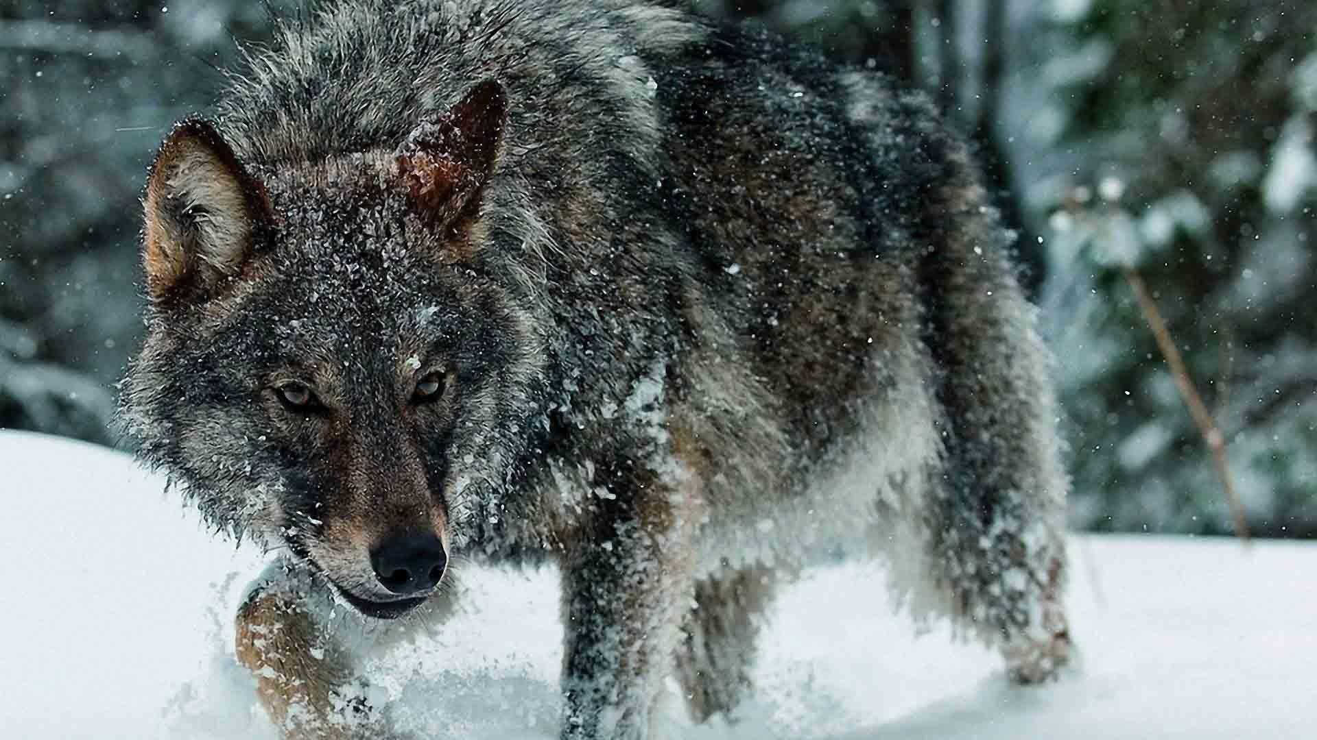 Top Wallpaper Macbook Wolf - 932193-vertical-timber-wolf-wallpaper-1920x1080-ipad-pro  Pictures_934765.jpg