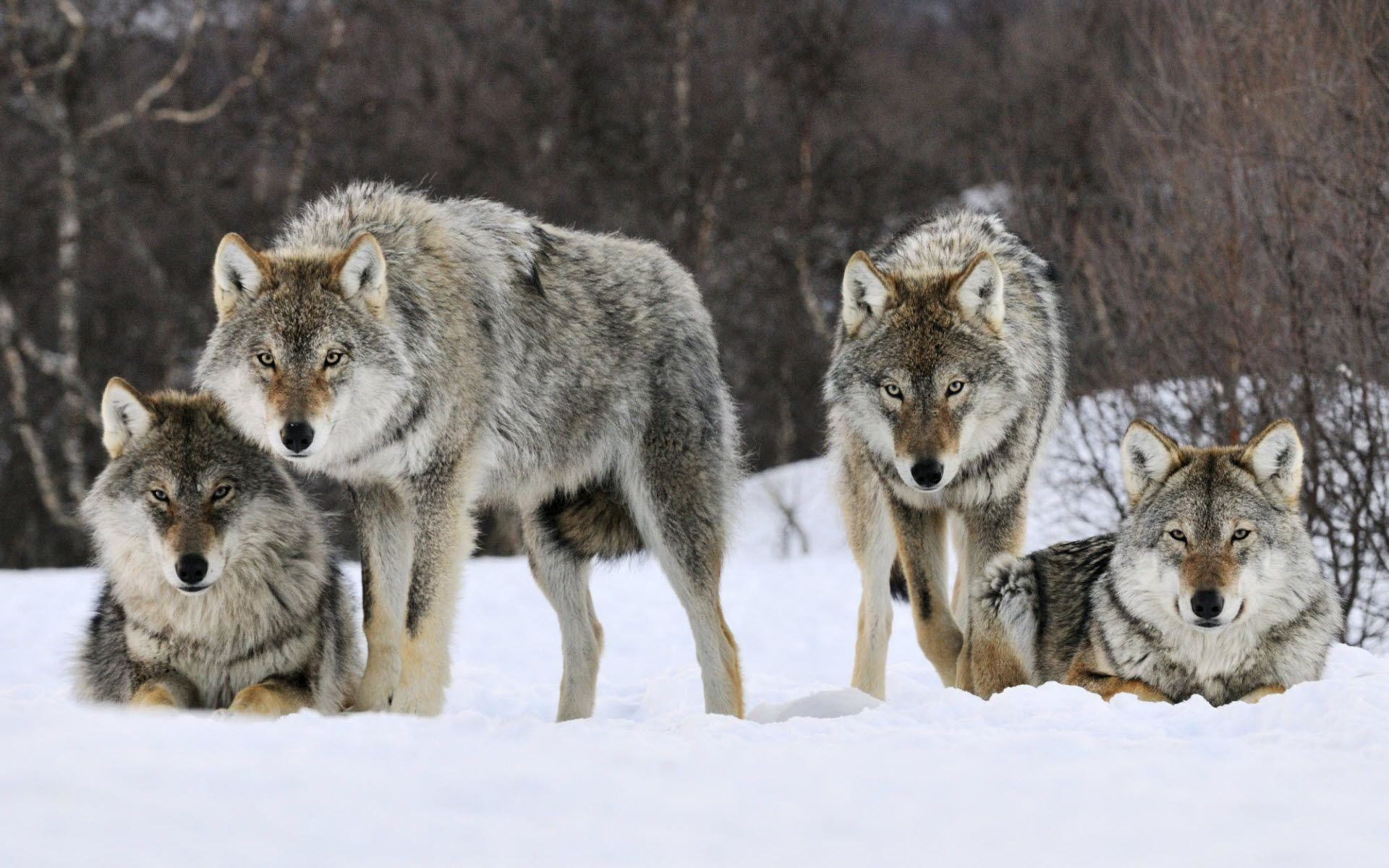 1920x1200 Wolf HD Wallpapers | Wolves Desktop Wallpapers For Android | Cool .