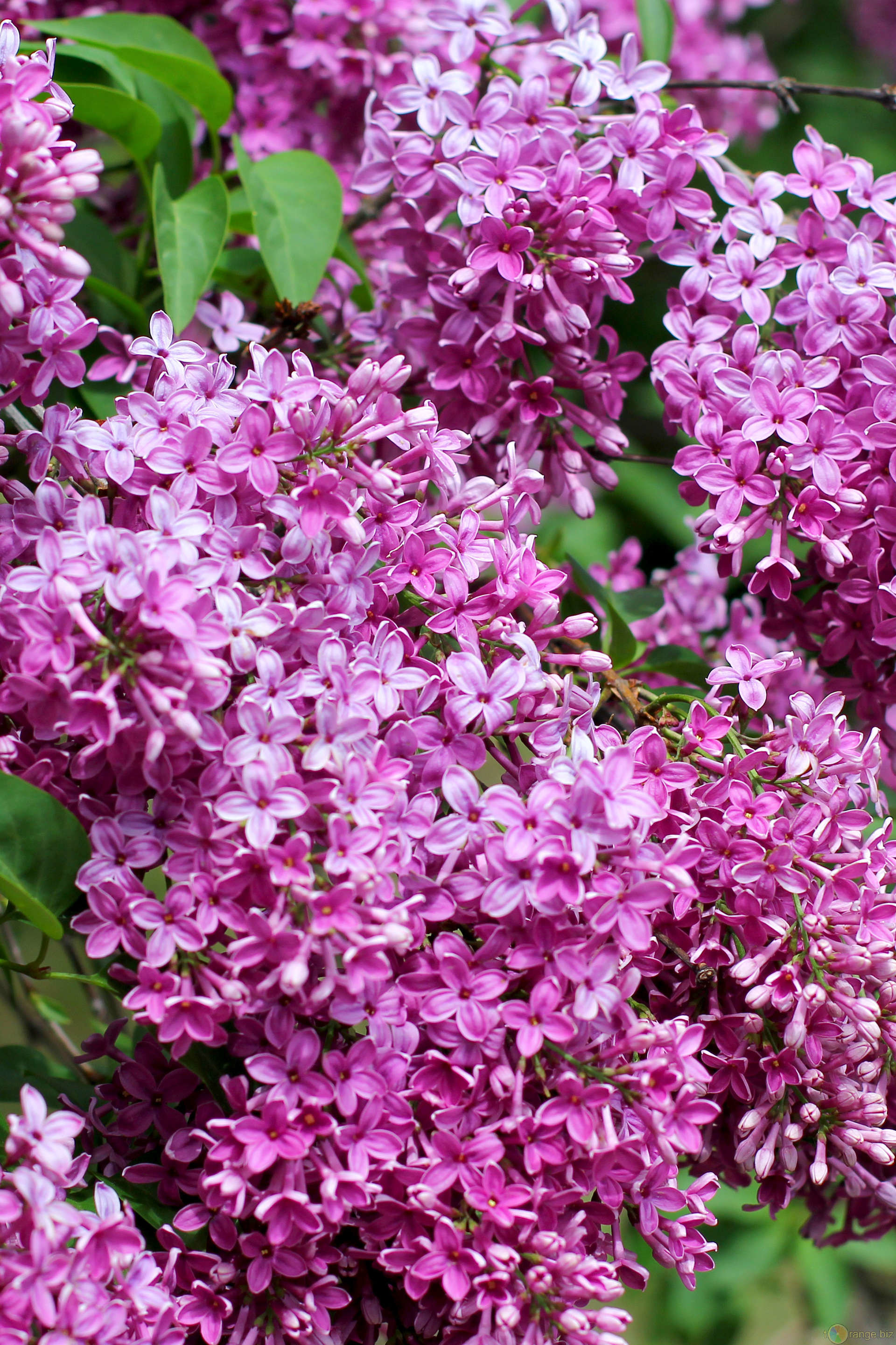 Lilac Background (56+ images)