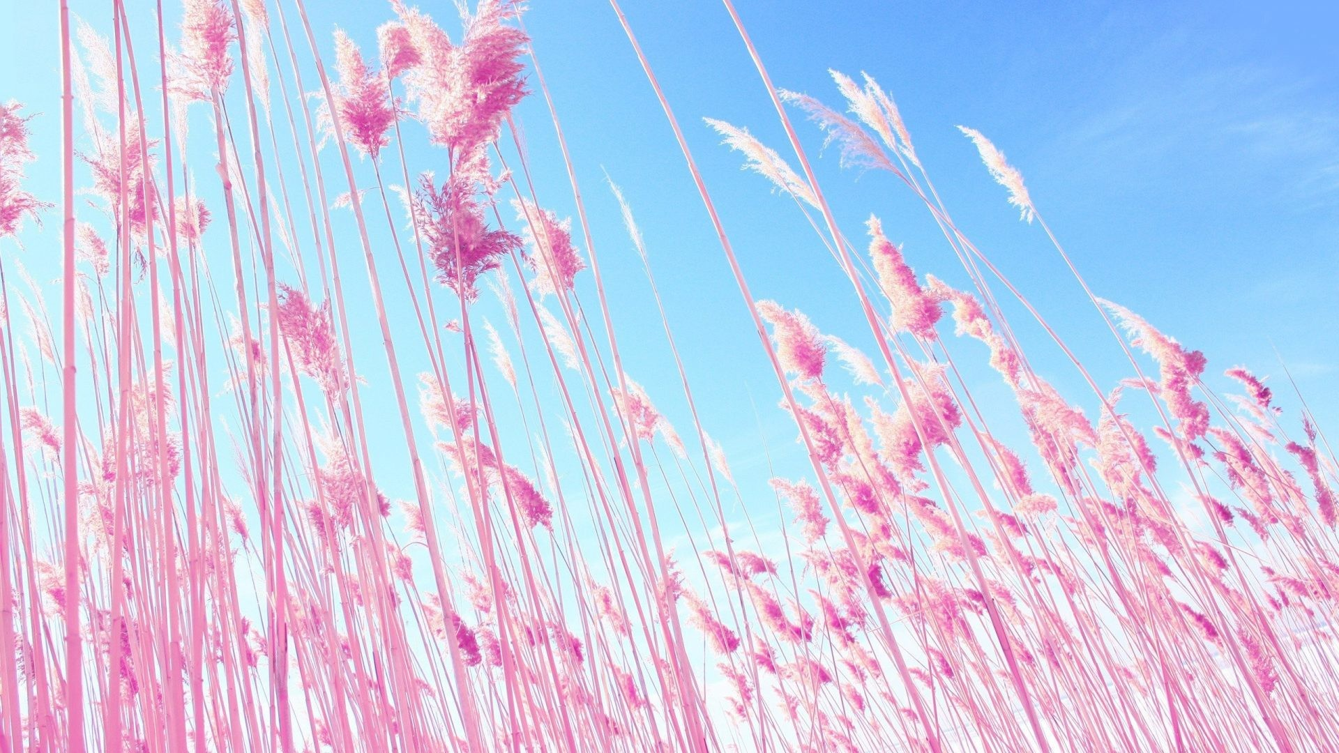 1920x1080 Dreamy Tag - Dreamy Macro Nature Plants Grass Pink Hd Wallpapers 1080p  Widescreen Download for HD