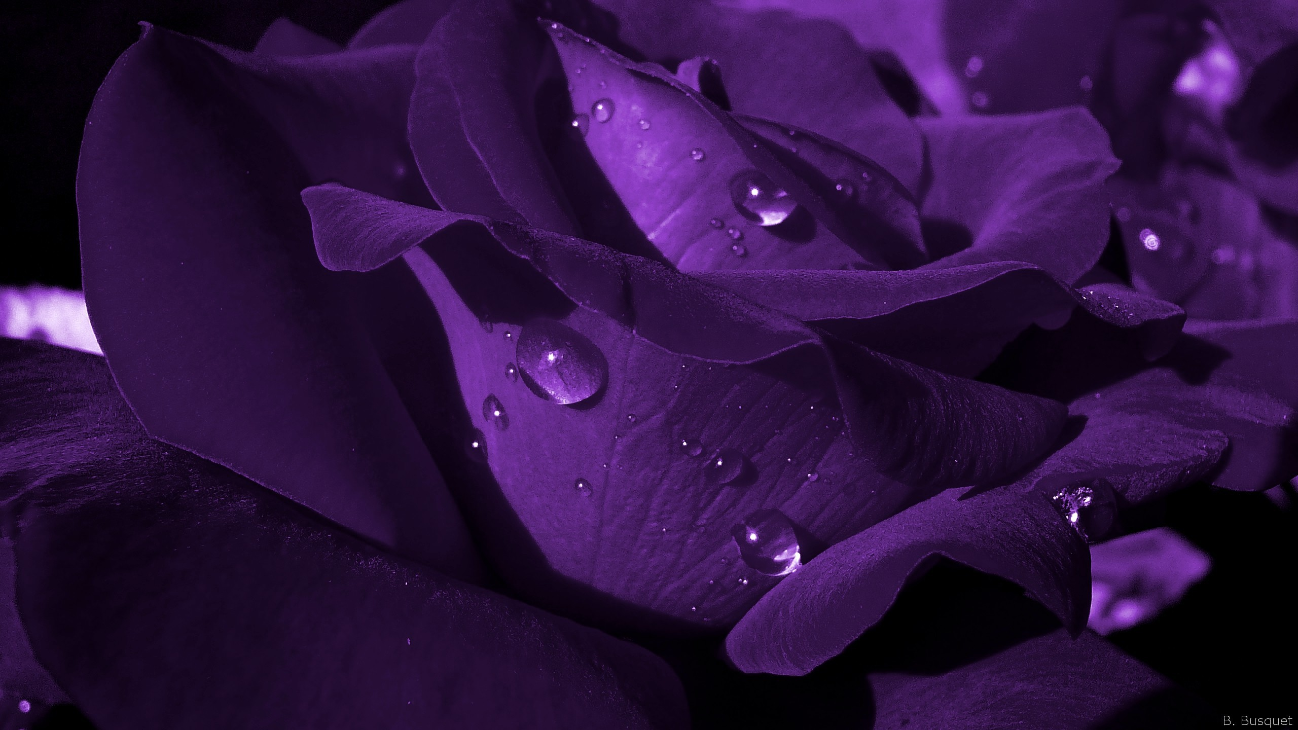 2560x1440 close up dark purple rose