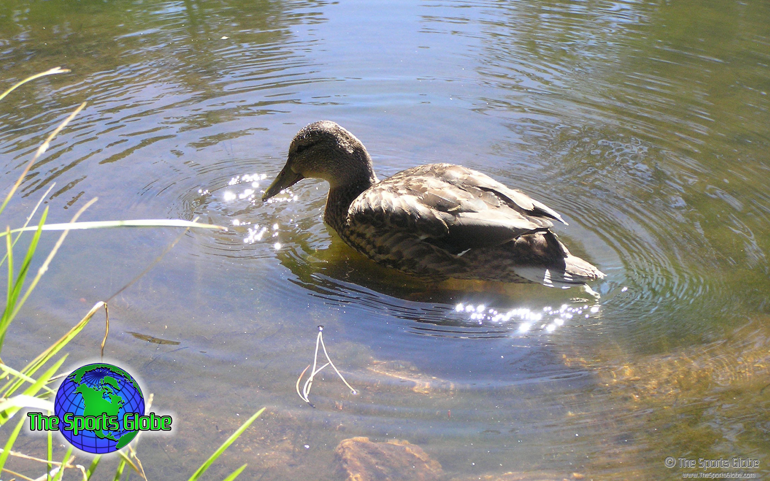 2560x1600 Duck On Pond -  Download