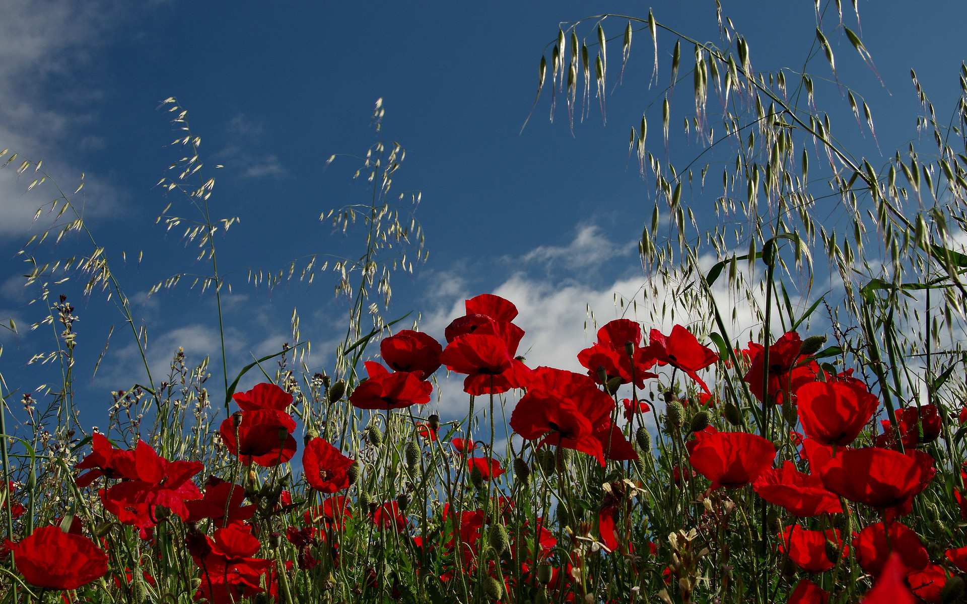 1920x1200 Poppy HD Wallpaper | Background Image |  | ID:412633 - Wallpaper  Abyss