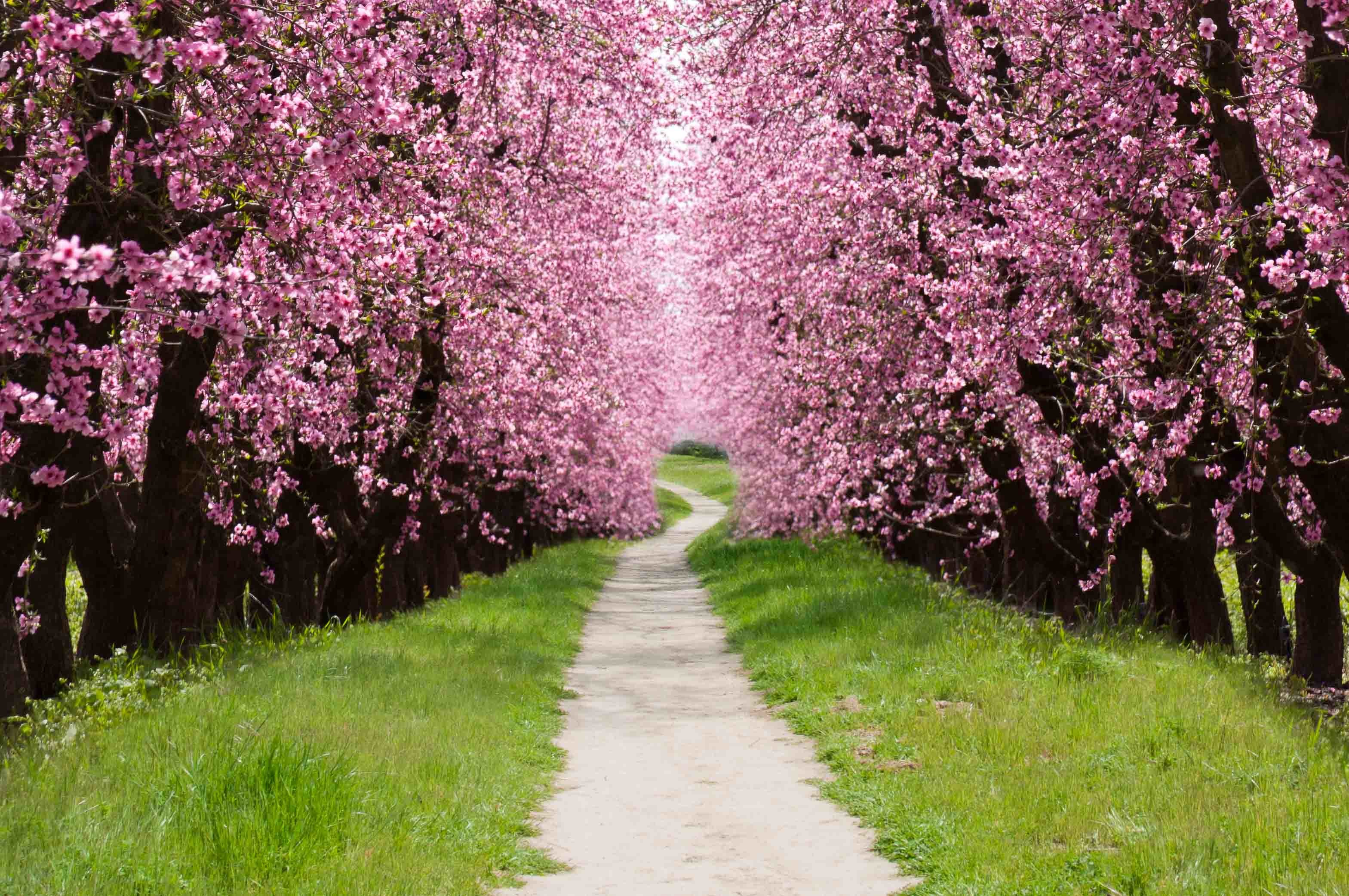 cherry blossom tree wallpaper 60 images