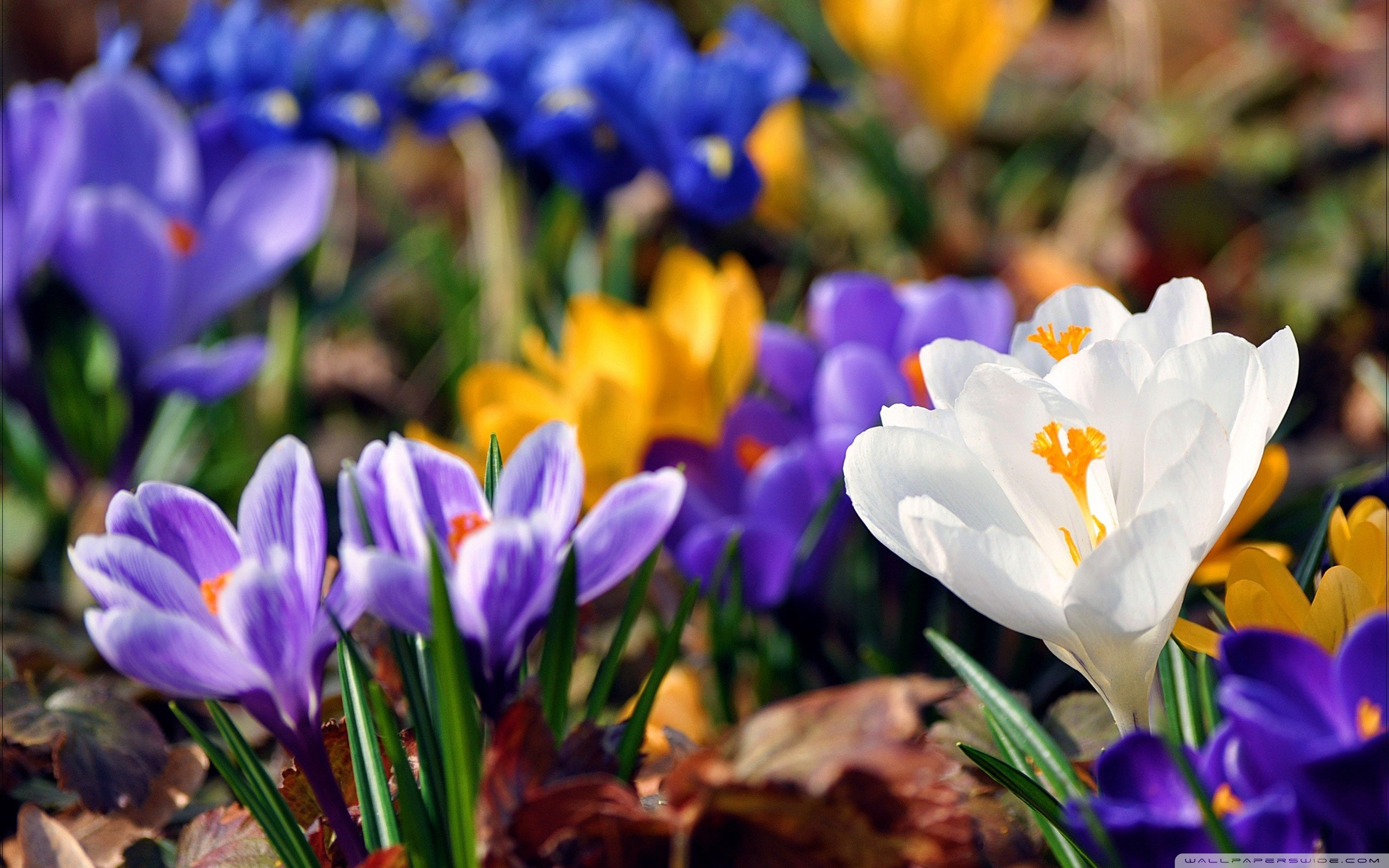 2560x1600 Download Crocus Flowers, Spring wallpaper