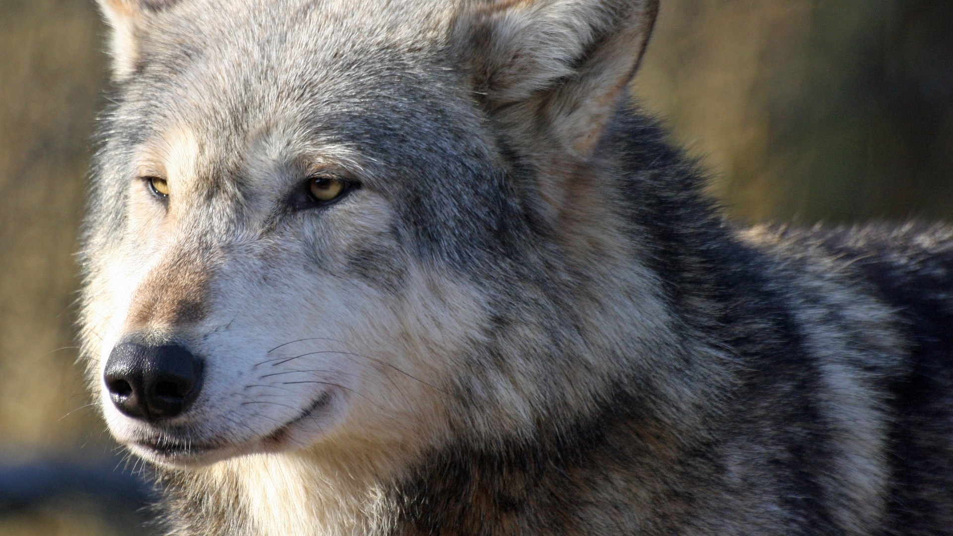 HD Wolf Wallpapers 1080p (71+ images)