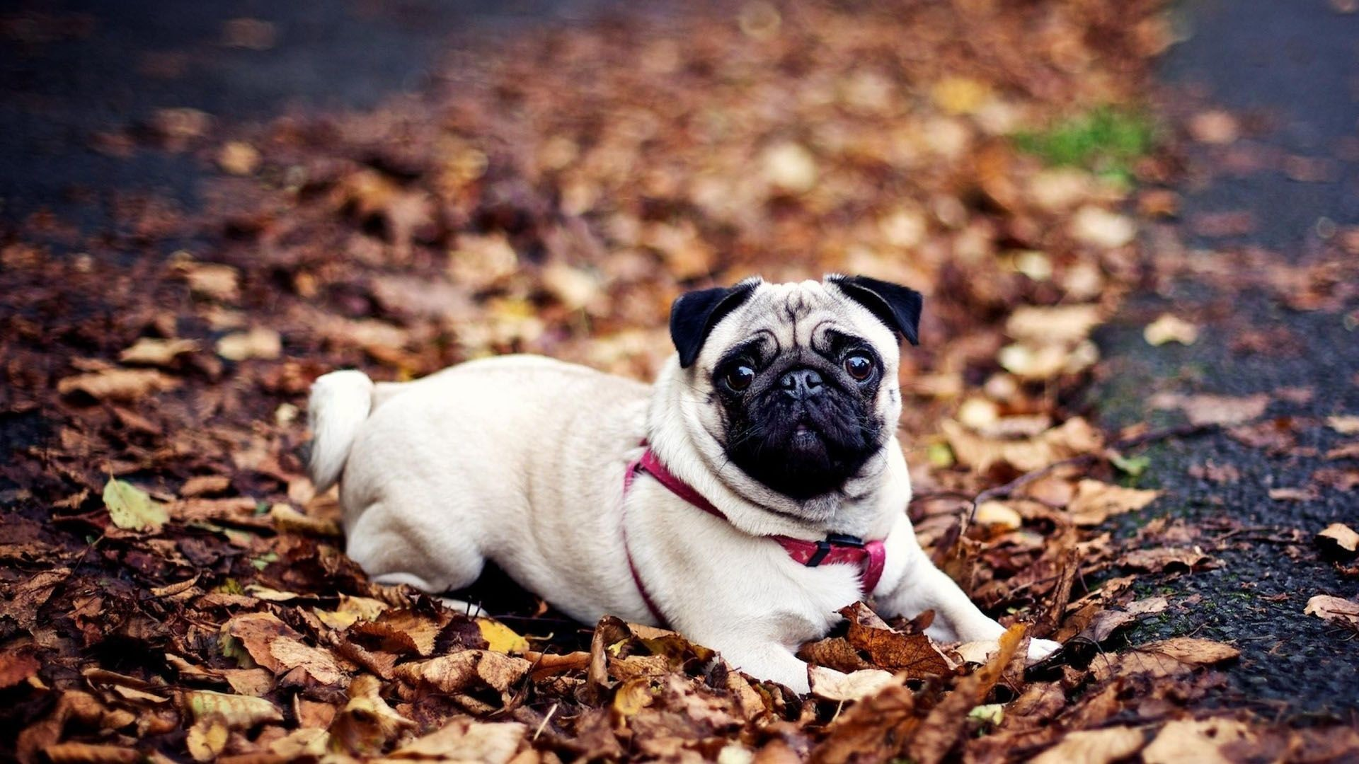 1920x1080 Pug Dog HD Wallpapers Pug Dog Pictures