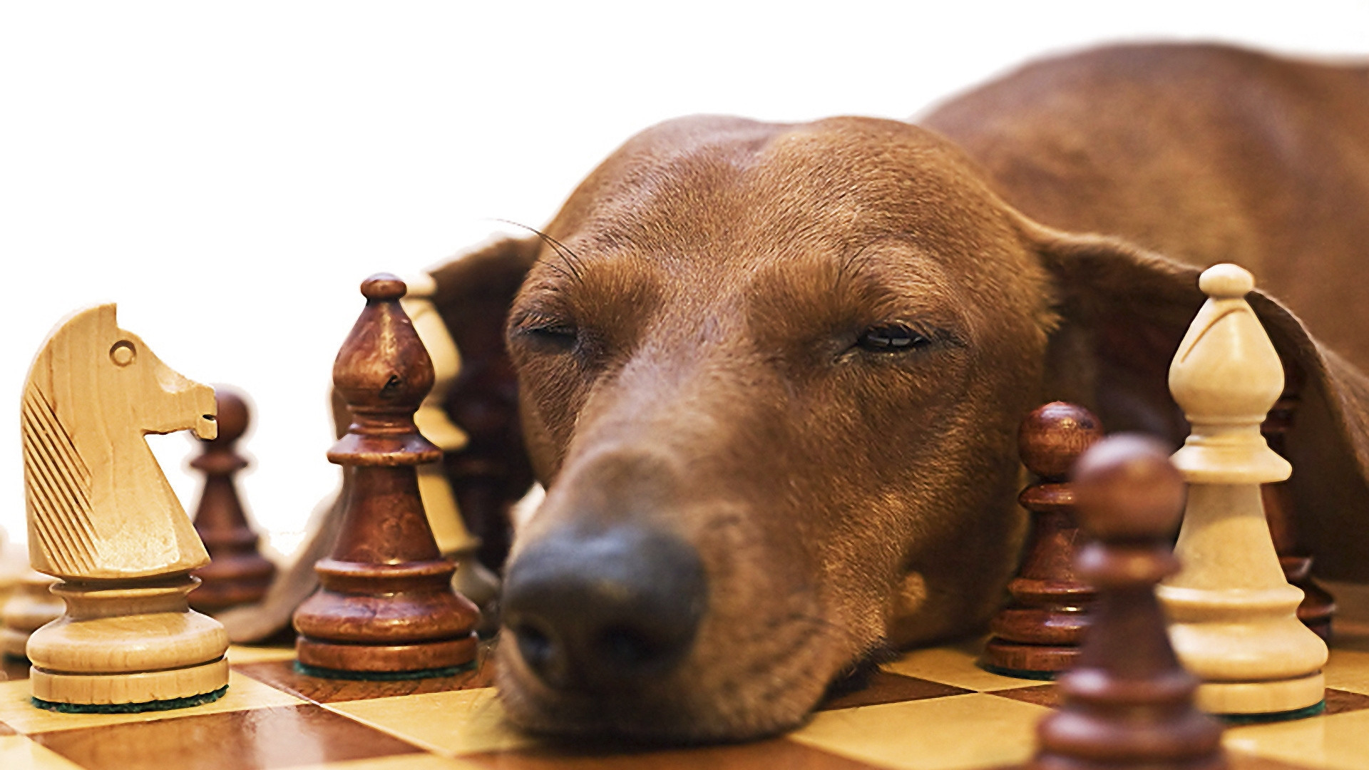 1920x1080  Wallpaper dachshund, chess, dog, face, fatigue