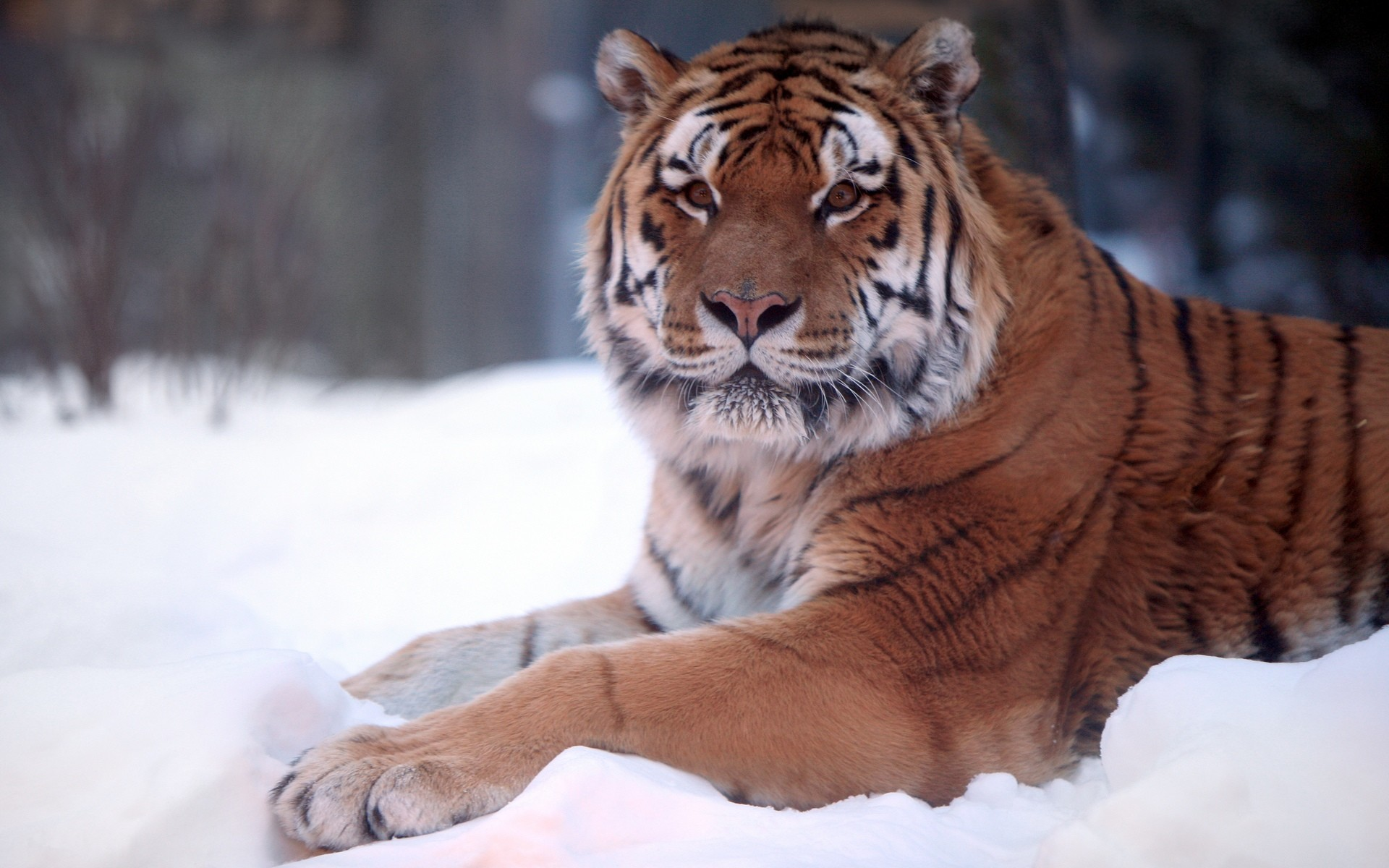 1920x1200 Tiger Snow Wide
