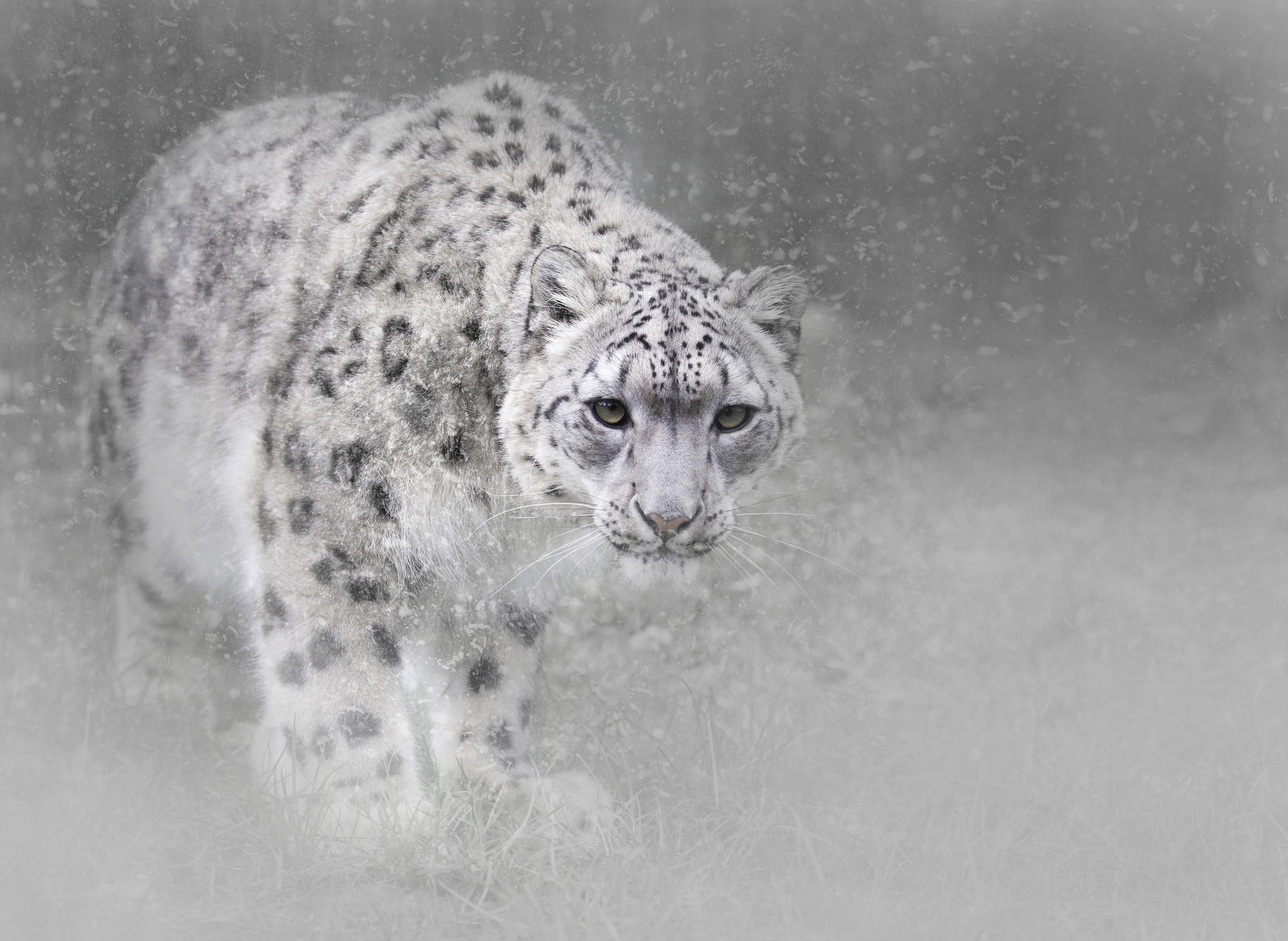2048x1497 HD Wallpaper | Background ID:784070.  Animal Snow Leopard
