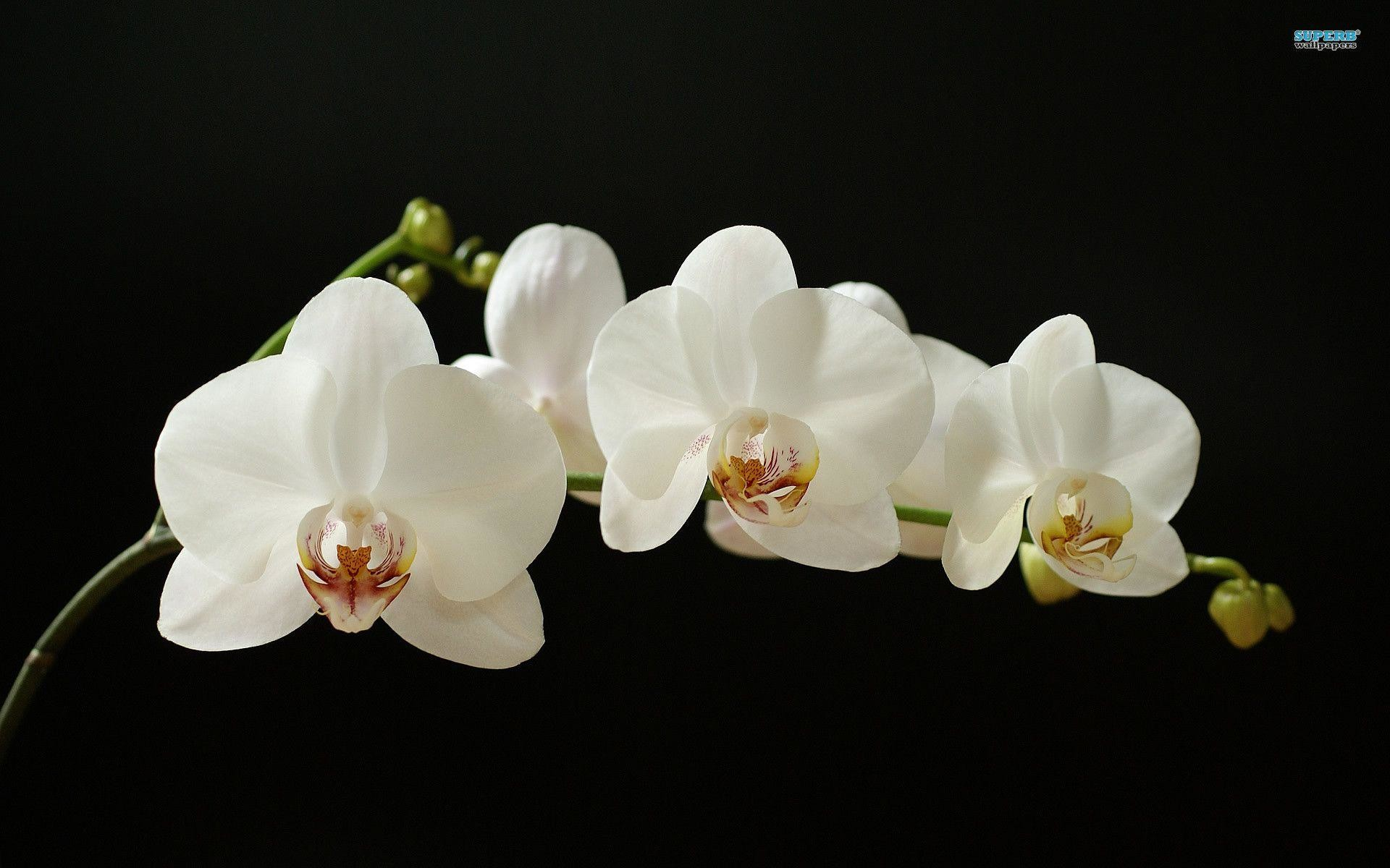 white orchid wallpaper 60 images
