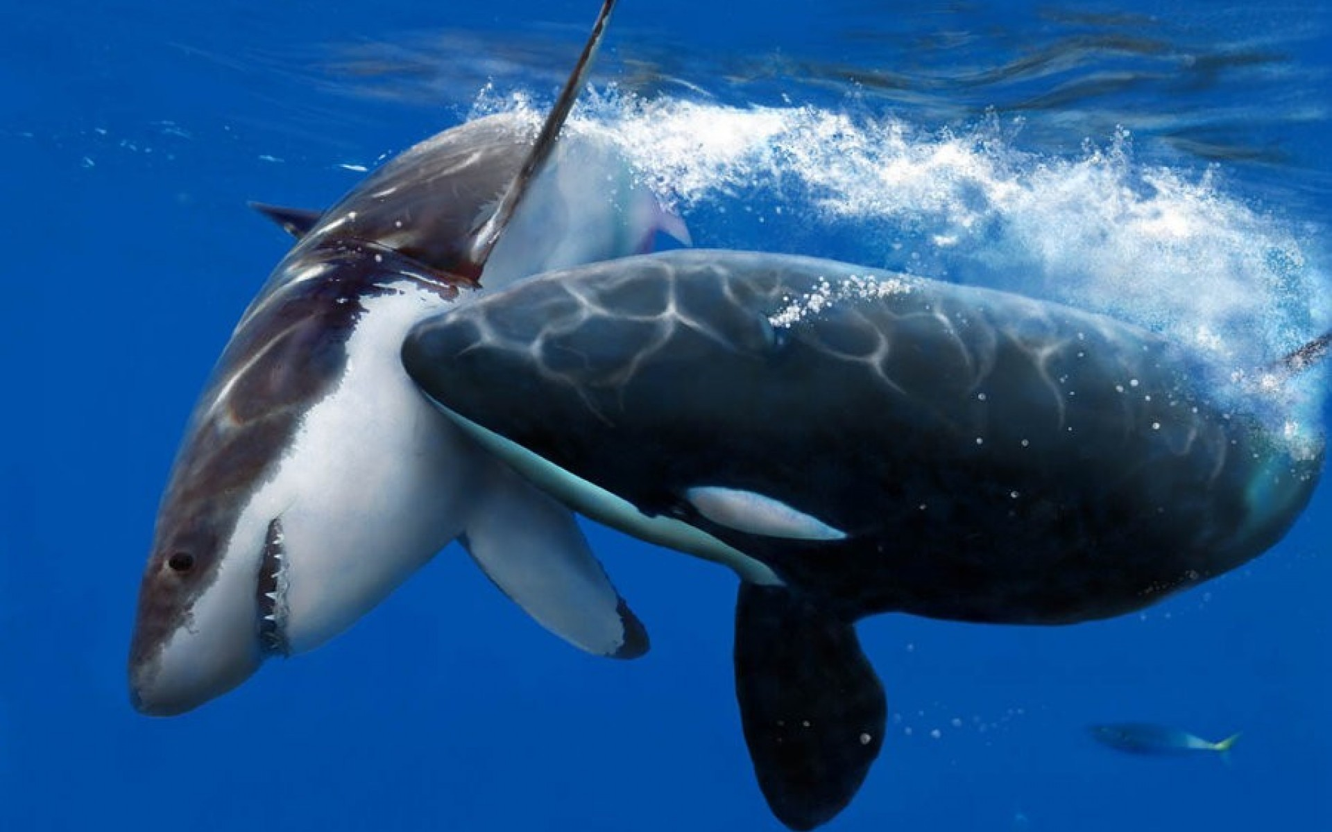 Killer Whales Wallpaper 53 Images
