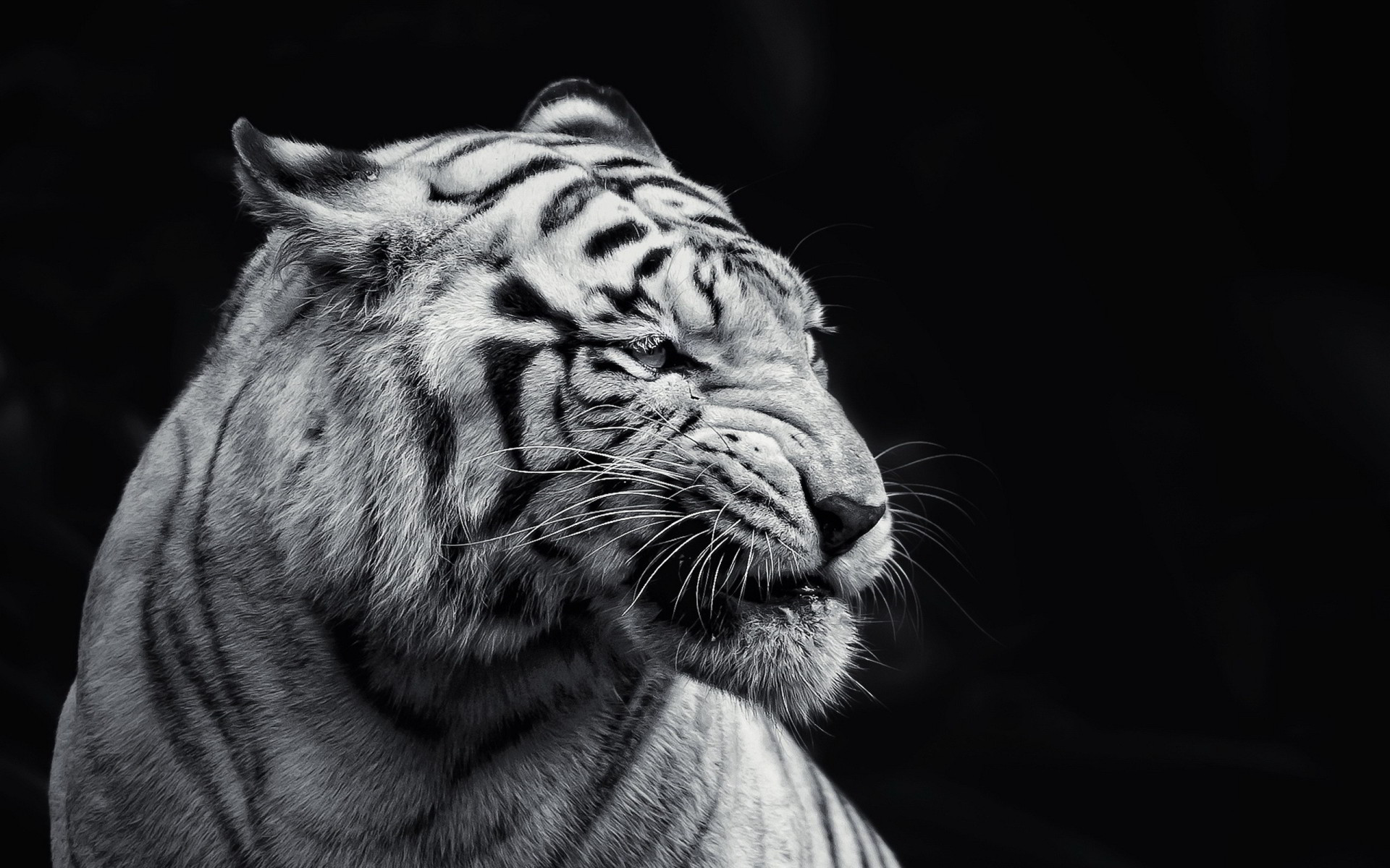 1178 Tiger Hd Wallpapers Backgrounds Wallpaper Abyss