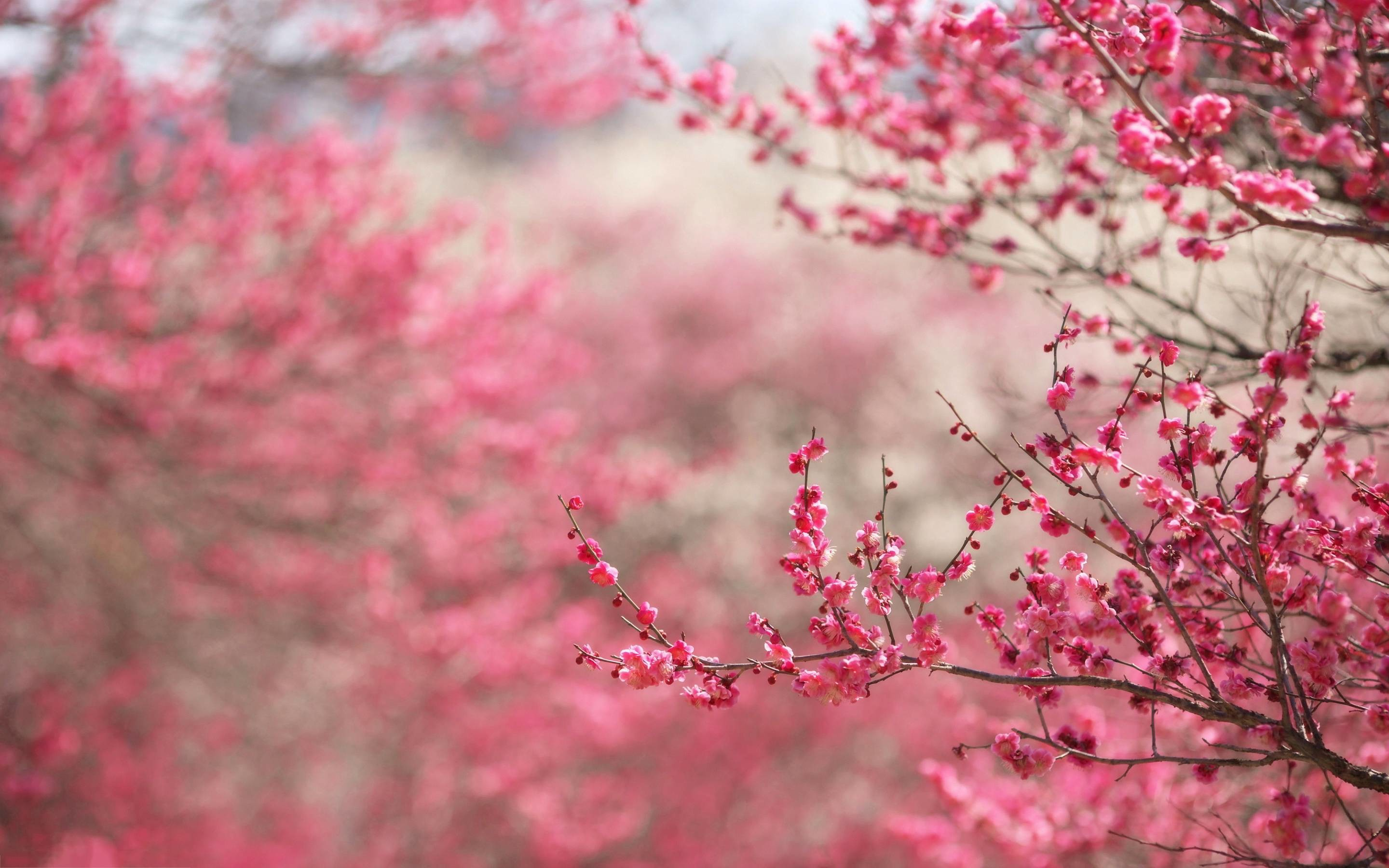 Pink Cherry Blossom Wallpaper 62 Images