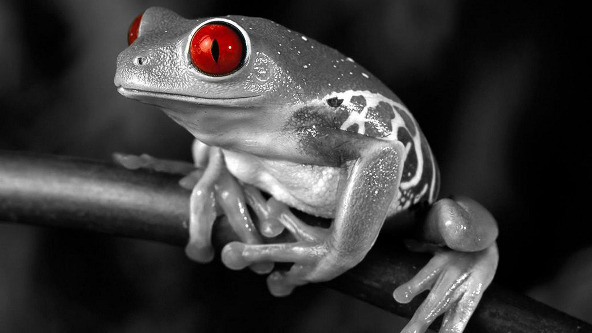 1920x1080 hd pics photos black and white frog red eye hd quality desktop background  wallpaper