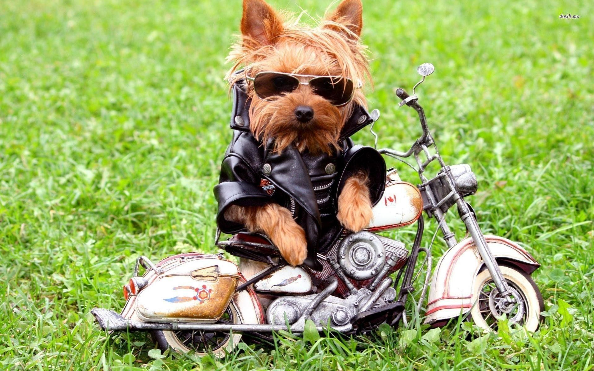 1920x1200 Yorkshire Terrier Wallpapers - HD Wallpapers Inn