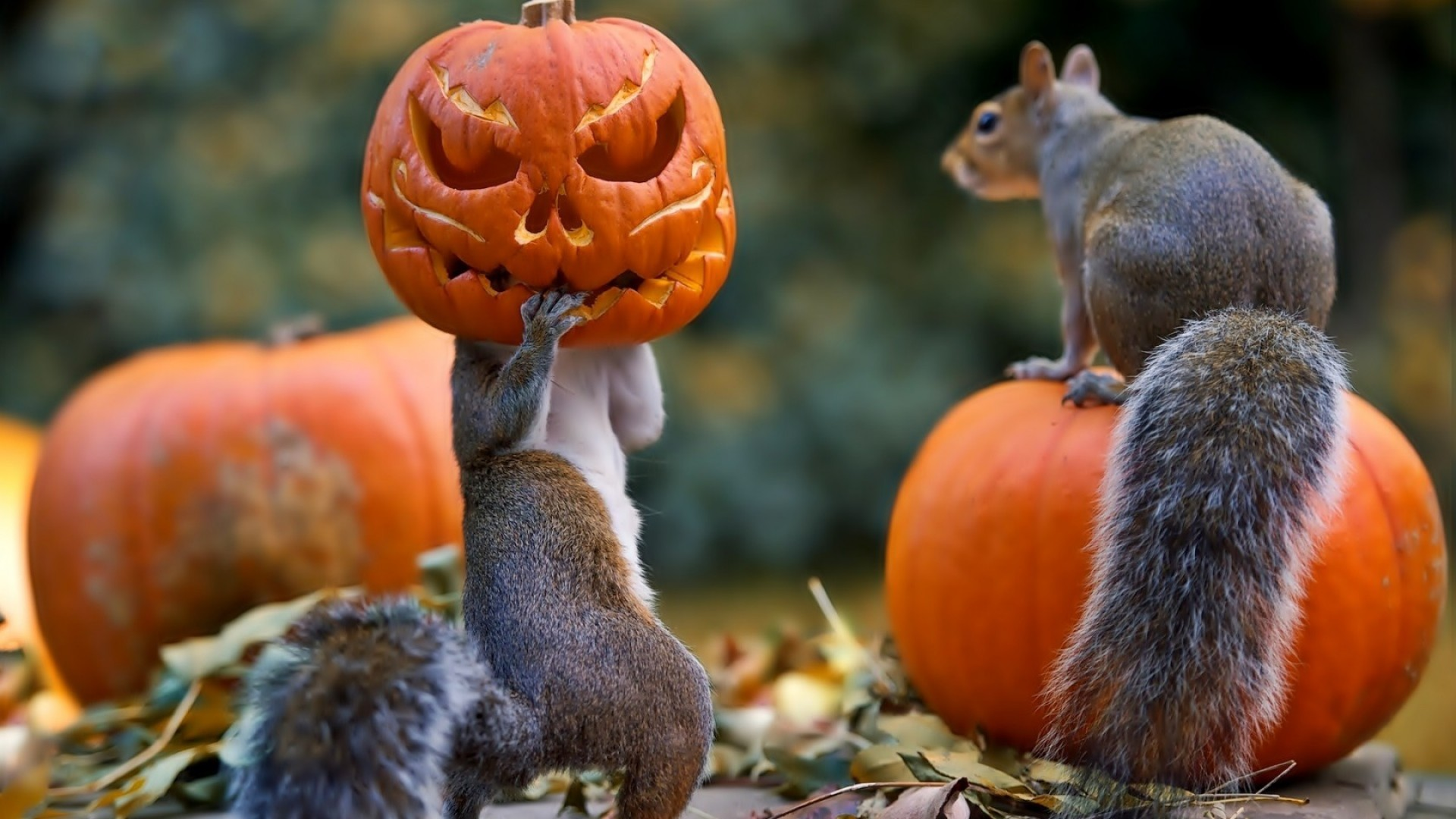 1920x1080 Full HD Wallpaper halloween forest squirrel Jack-o'-lantern