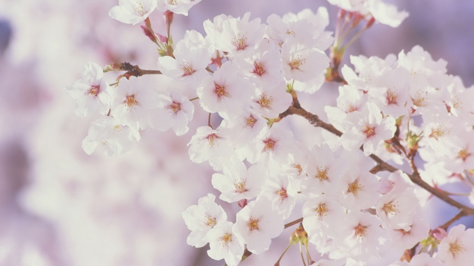 1920x1080 Spring Flowers Background wallpaper