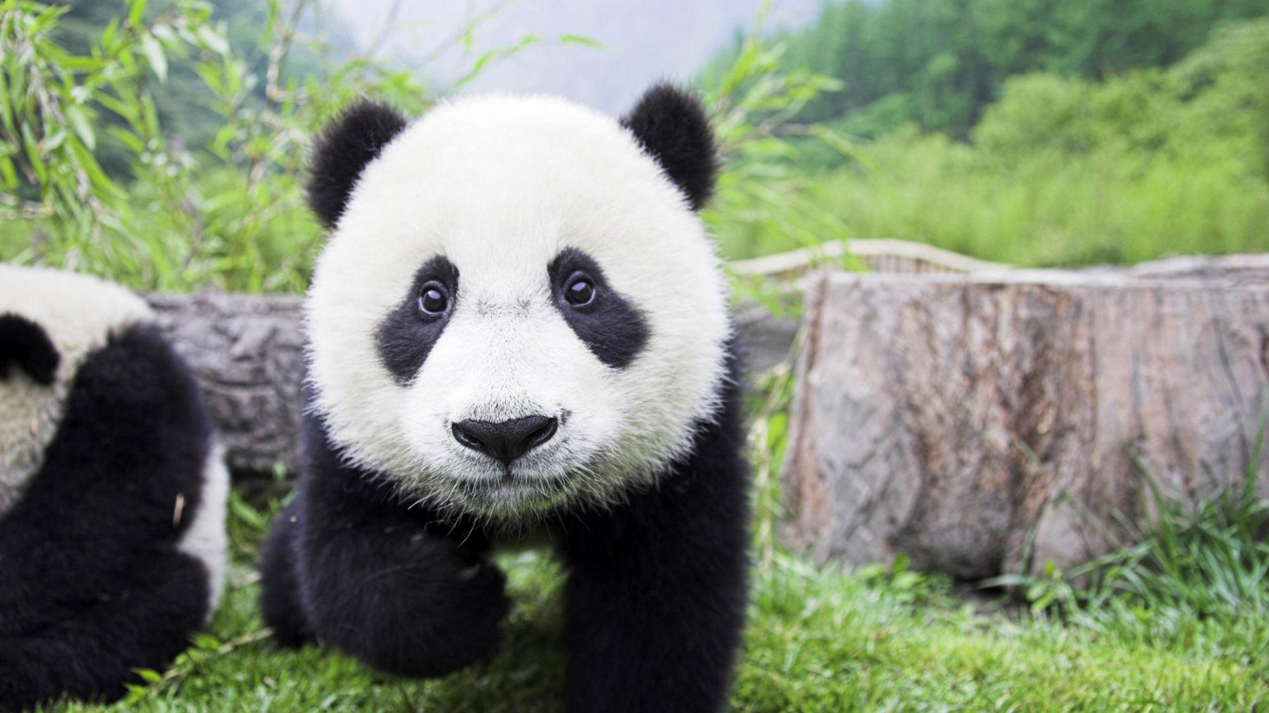Baby Panda Wallpapers   Amazing wallpapers and