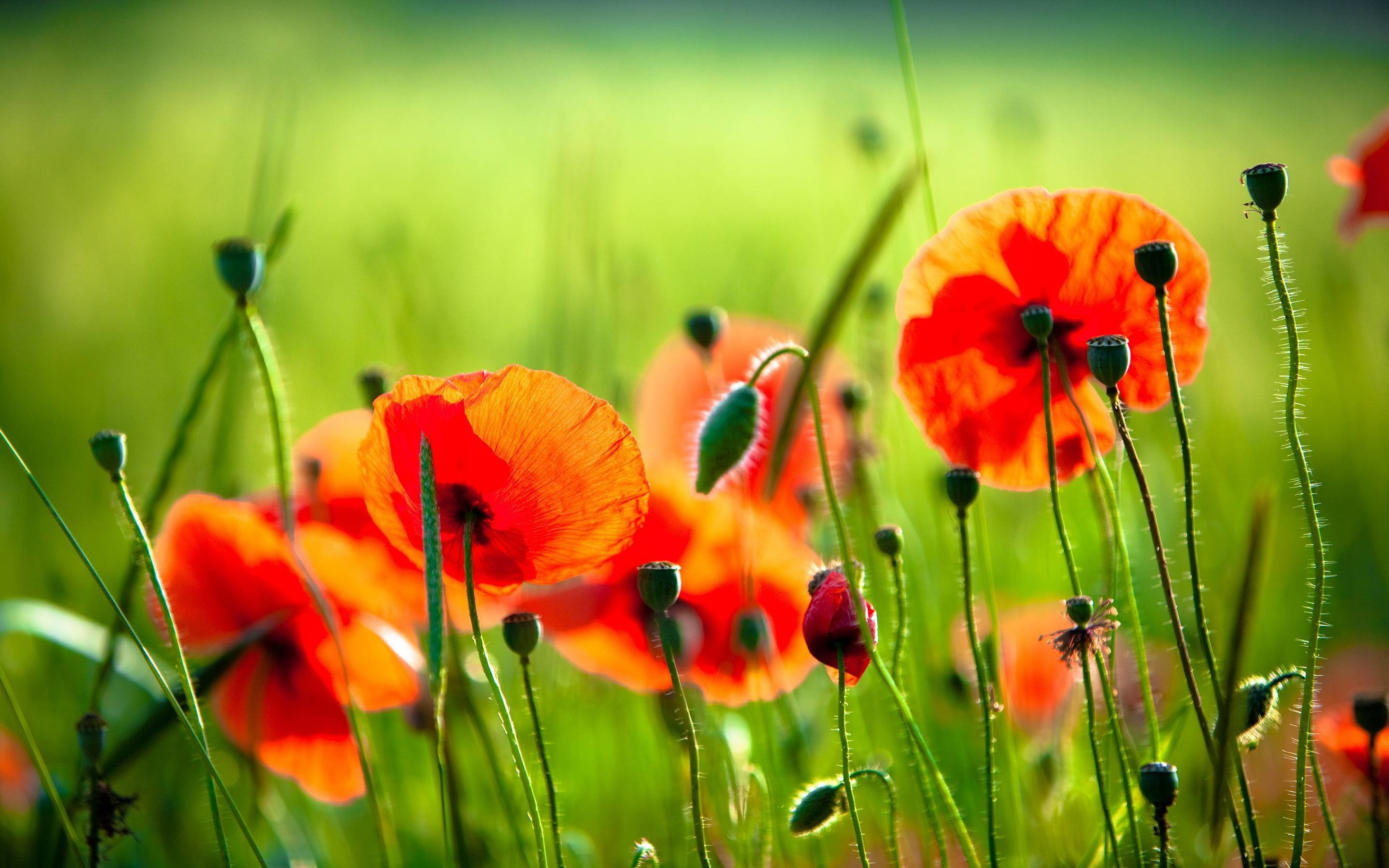 2880x1800 Most Downloaded Poppies Wallpapers - Full HD wallpaper search