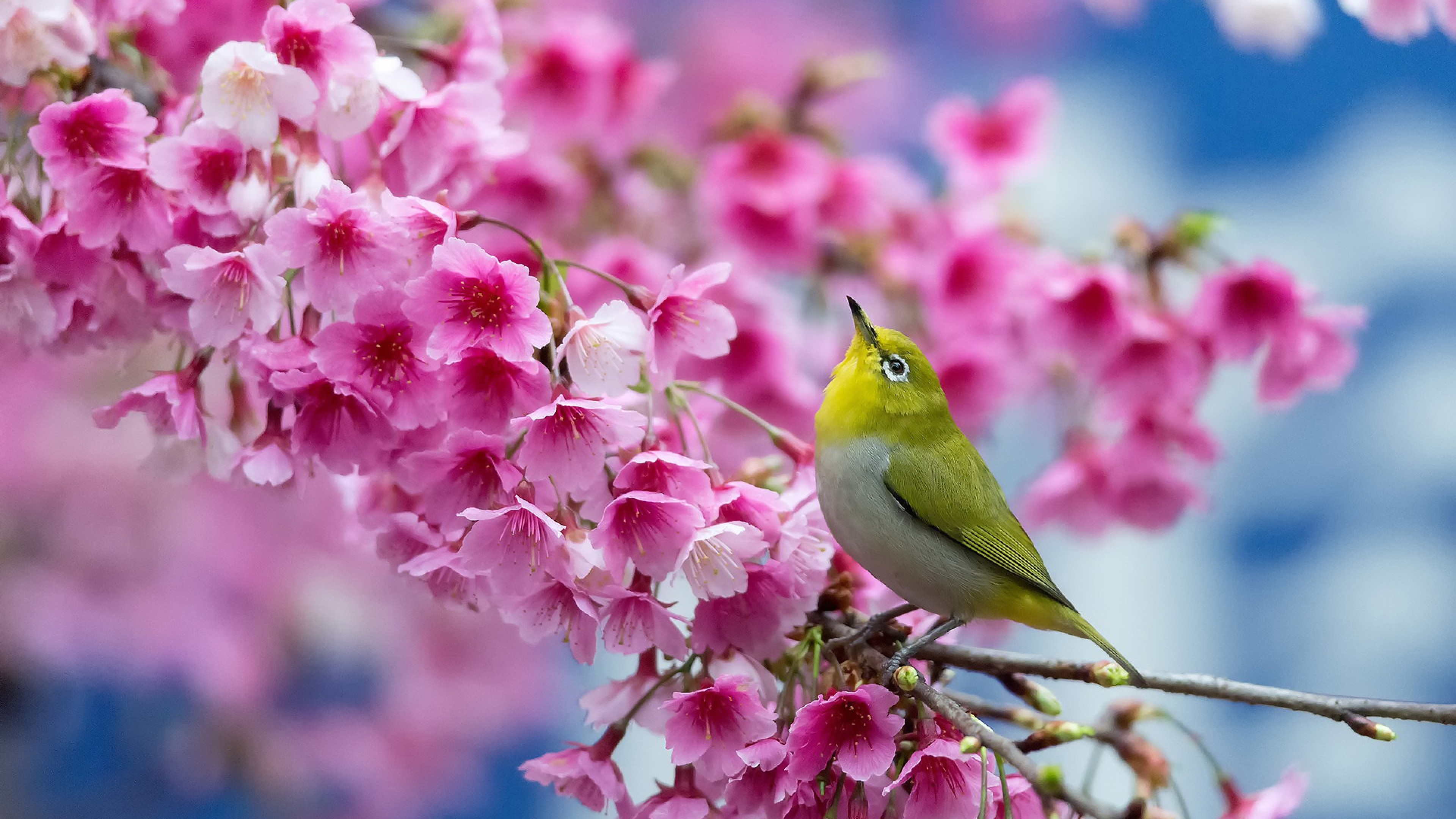 3840x2160 Preview wallpaper spring, cherry, branch, flowers, beauty, japanese  white-eye