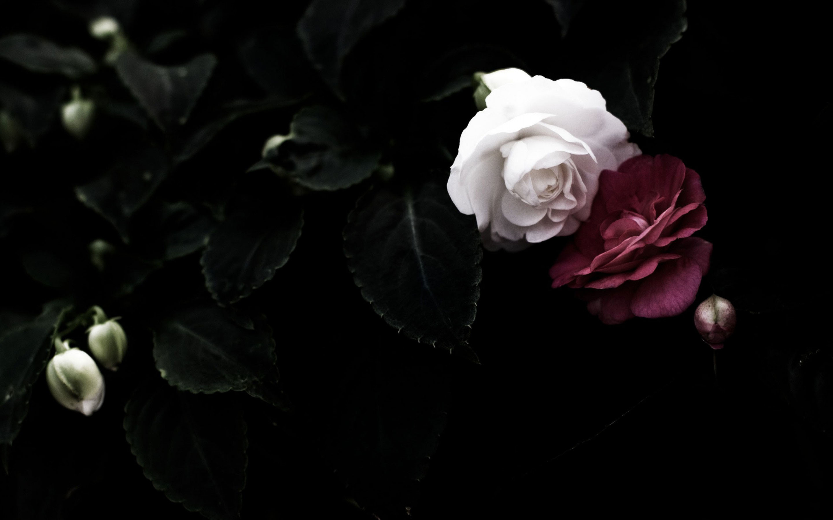 Roses With Black Background 50 Images