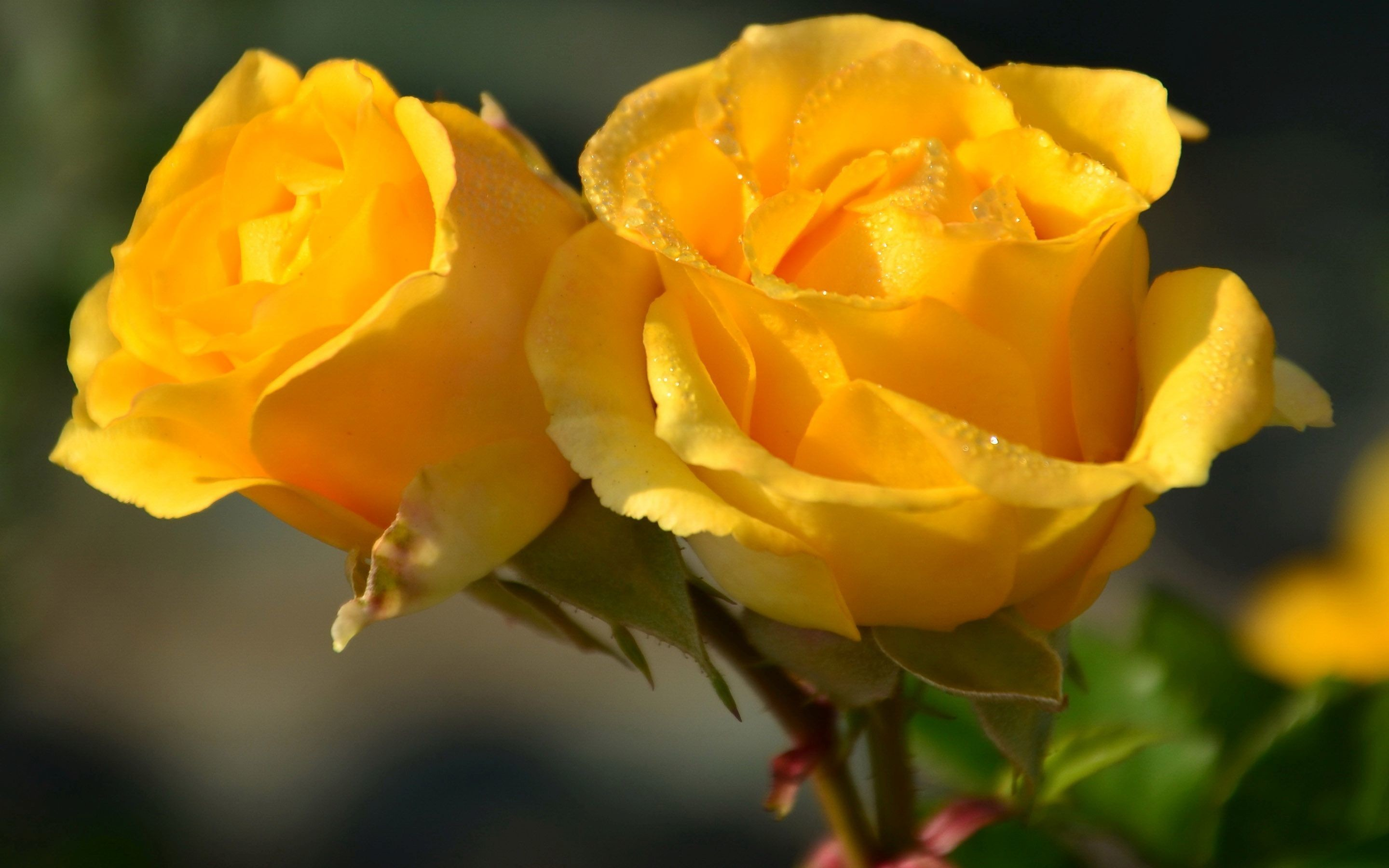 Yellow roses wallpaper 67 images - Yellow rose images hd ...