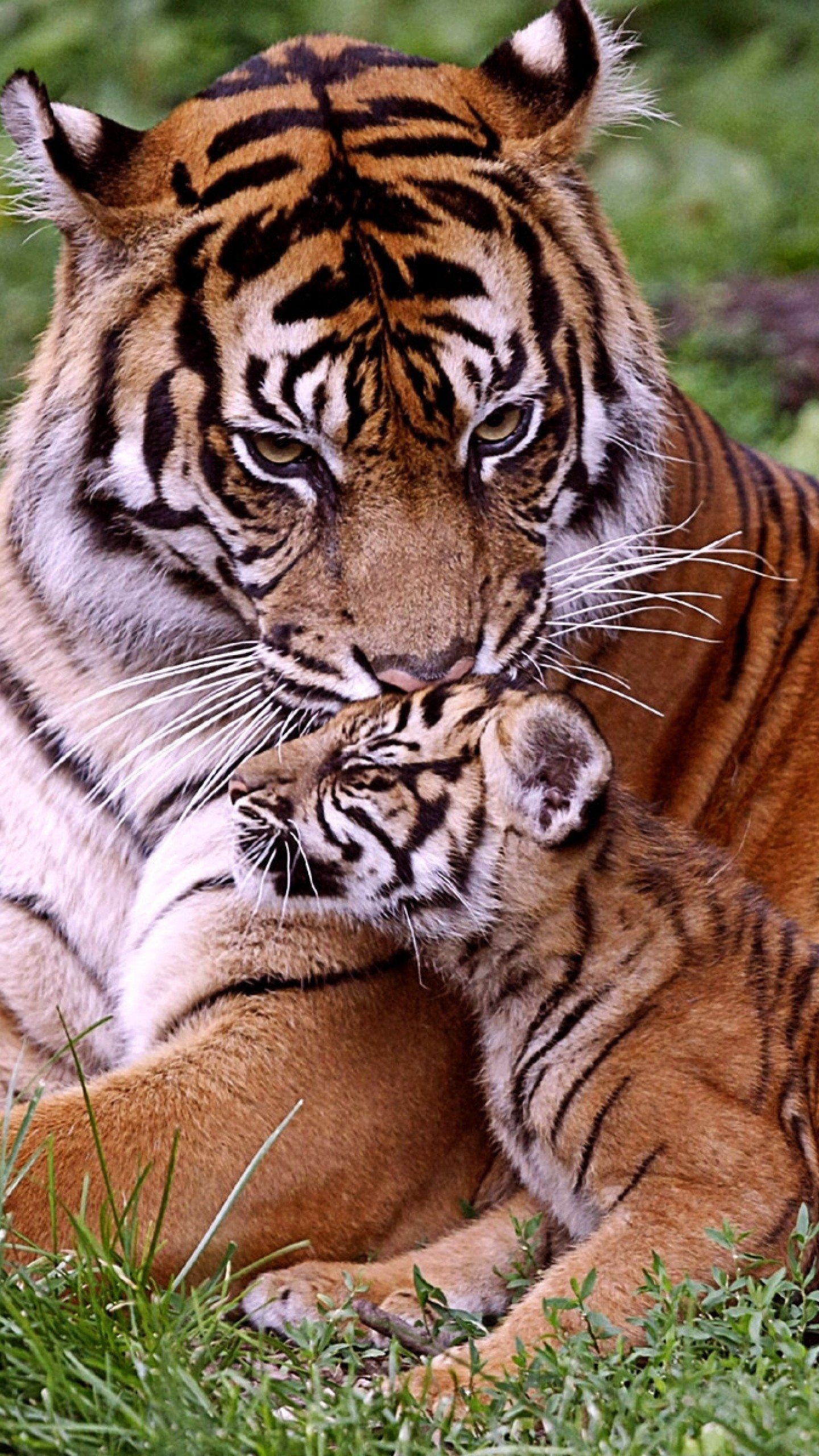 Baby tiger iphone wallpaper - photo#30