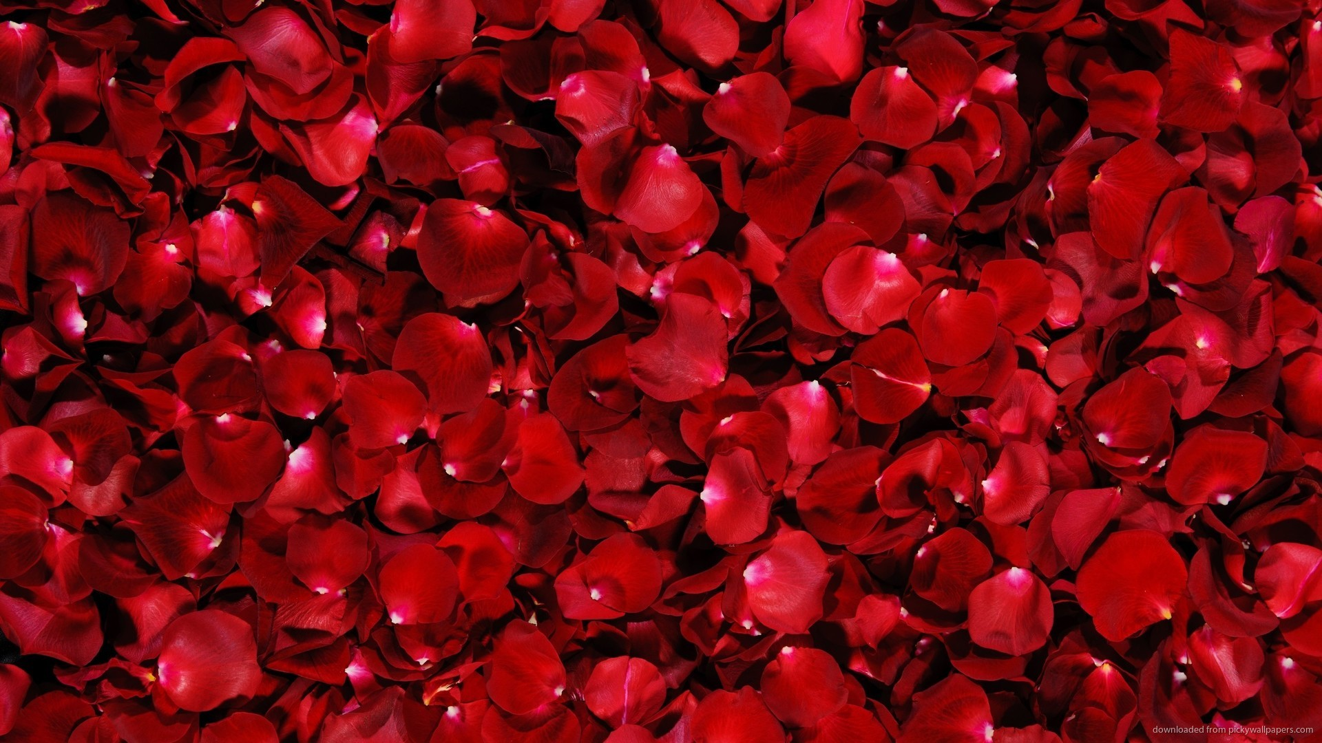 1920x1080 Red Rose Flower Petals Wallpaper Background picture