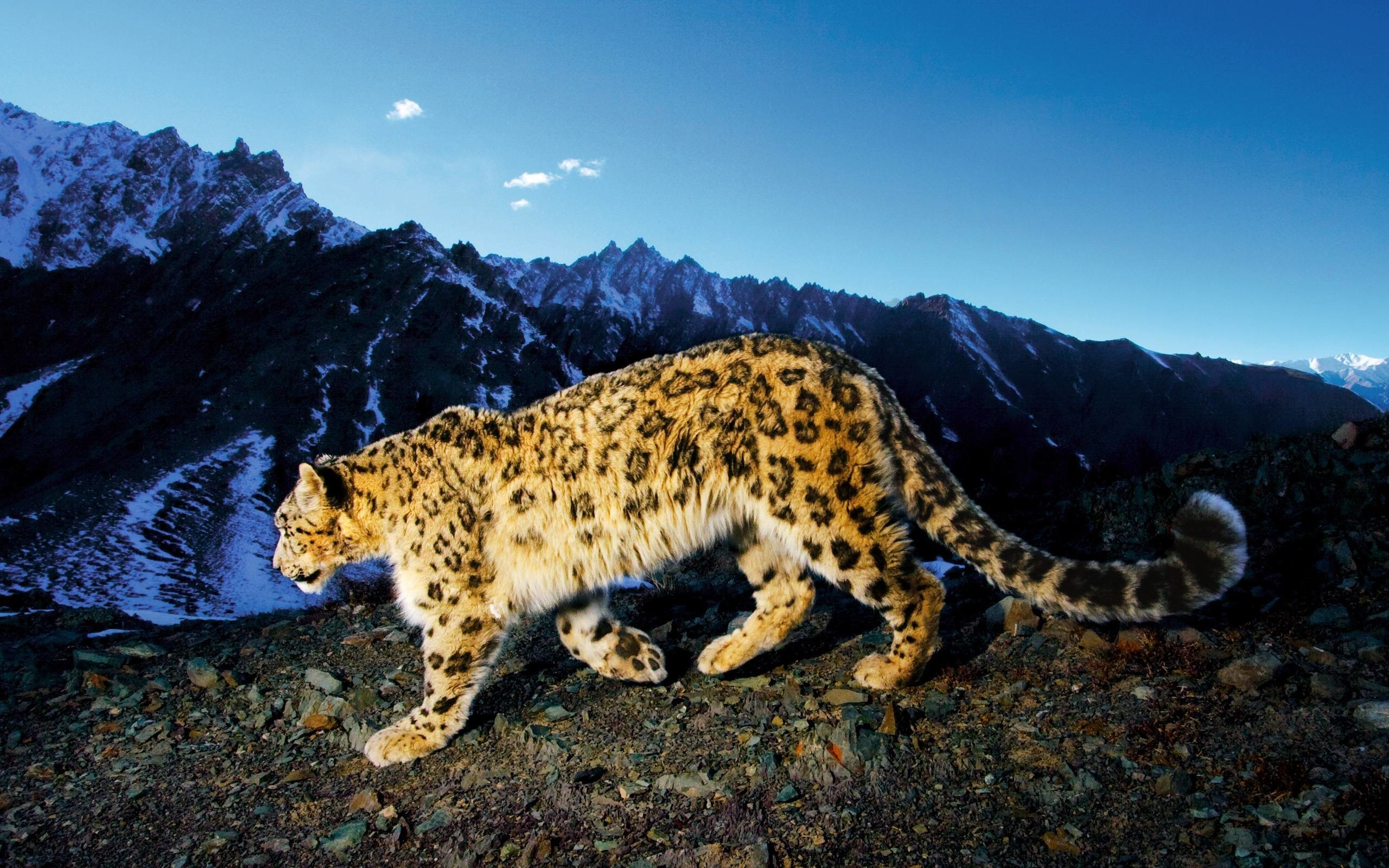 2560x1600  Artistic Snow Leopard Wallpapers - Apple Scene - Apps, iPhone, Mac  .