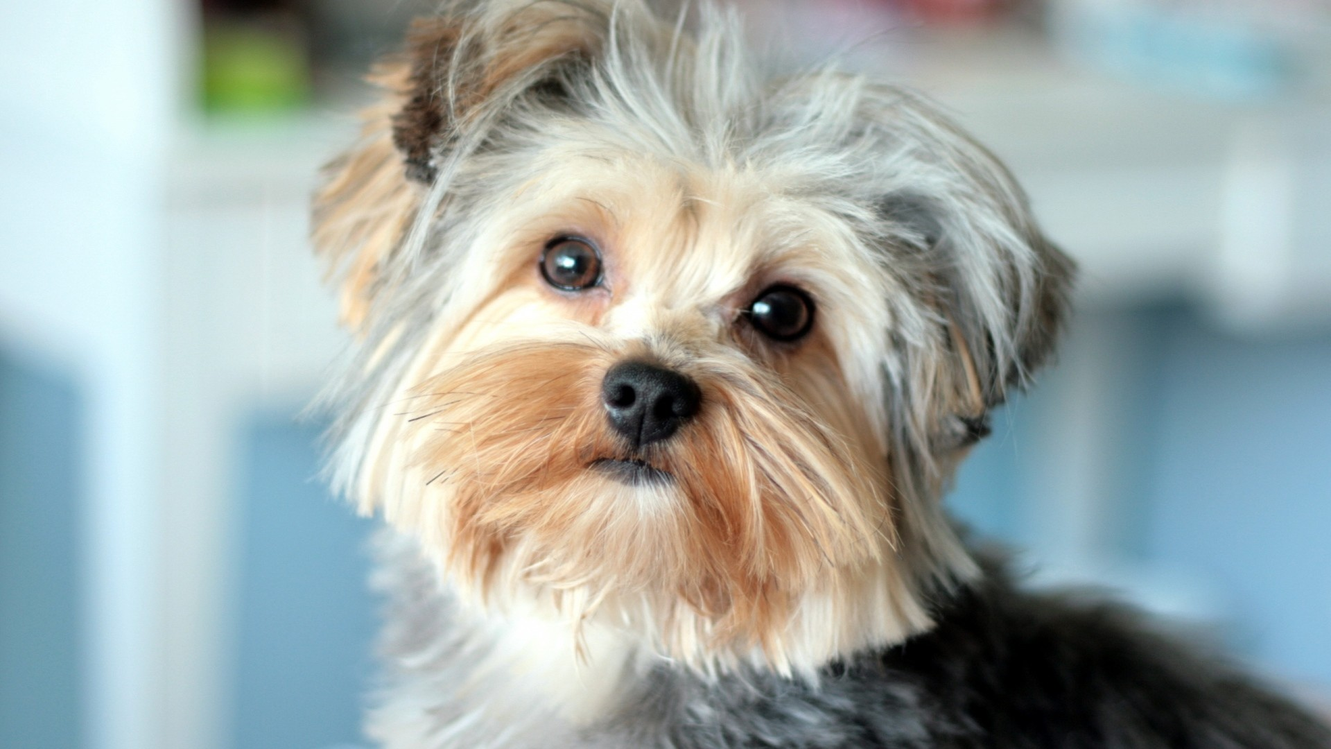 1920x1080 Preview wallpaper yorkshire terrier, face, handsome, well-groomed