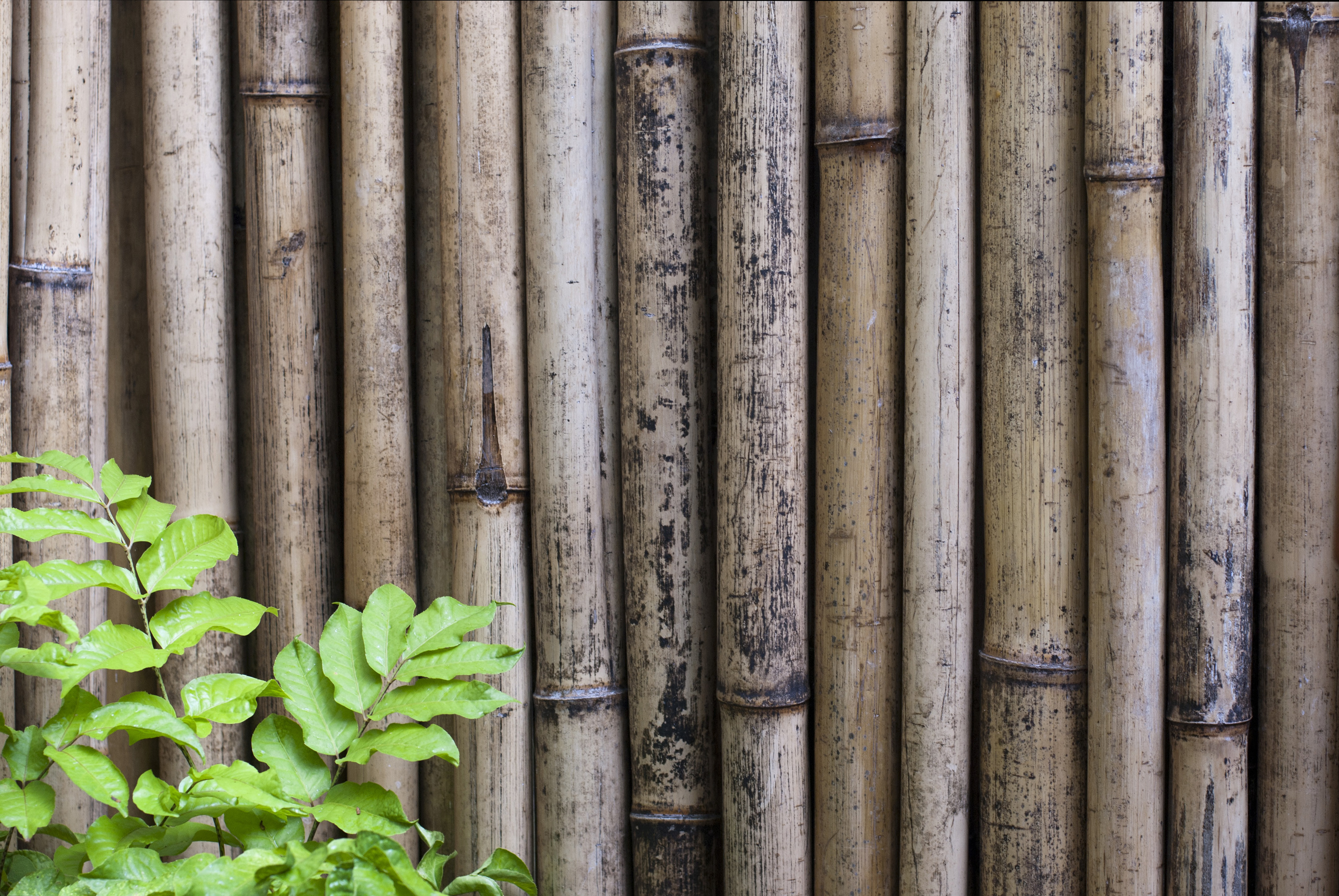 3200x2142 Dried bamboo background of an upright fence made from cut canes which are  used for both