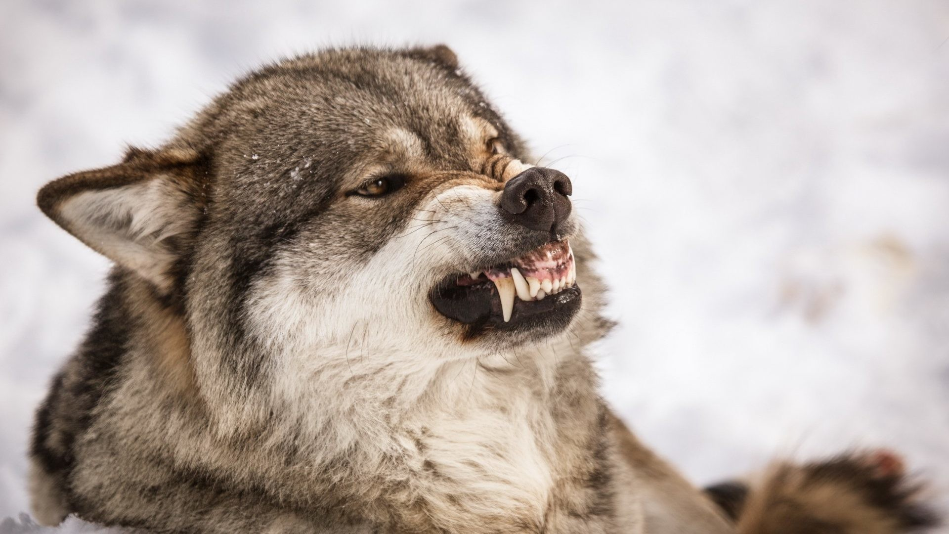 1920x1080 #665544 Color - Animals Wolf Roar Wolves Dogs Pictures Picture for HD 16:9