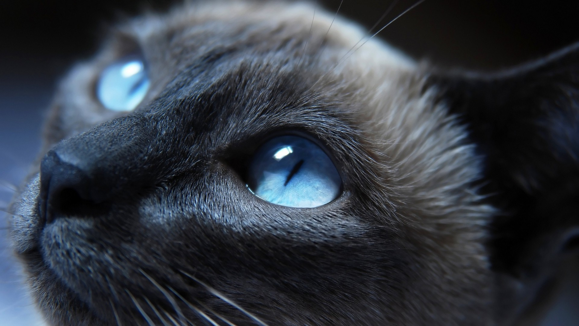 1920x1080 cat, Blue Eyes, Animals, Siamese Cats Wallpapers HD / Desktop and Mobile  Backgrounds