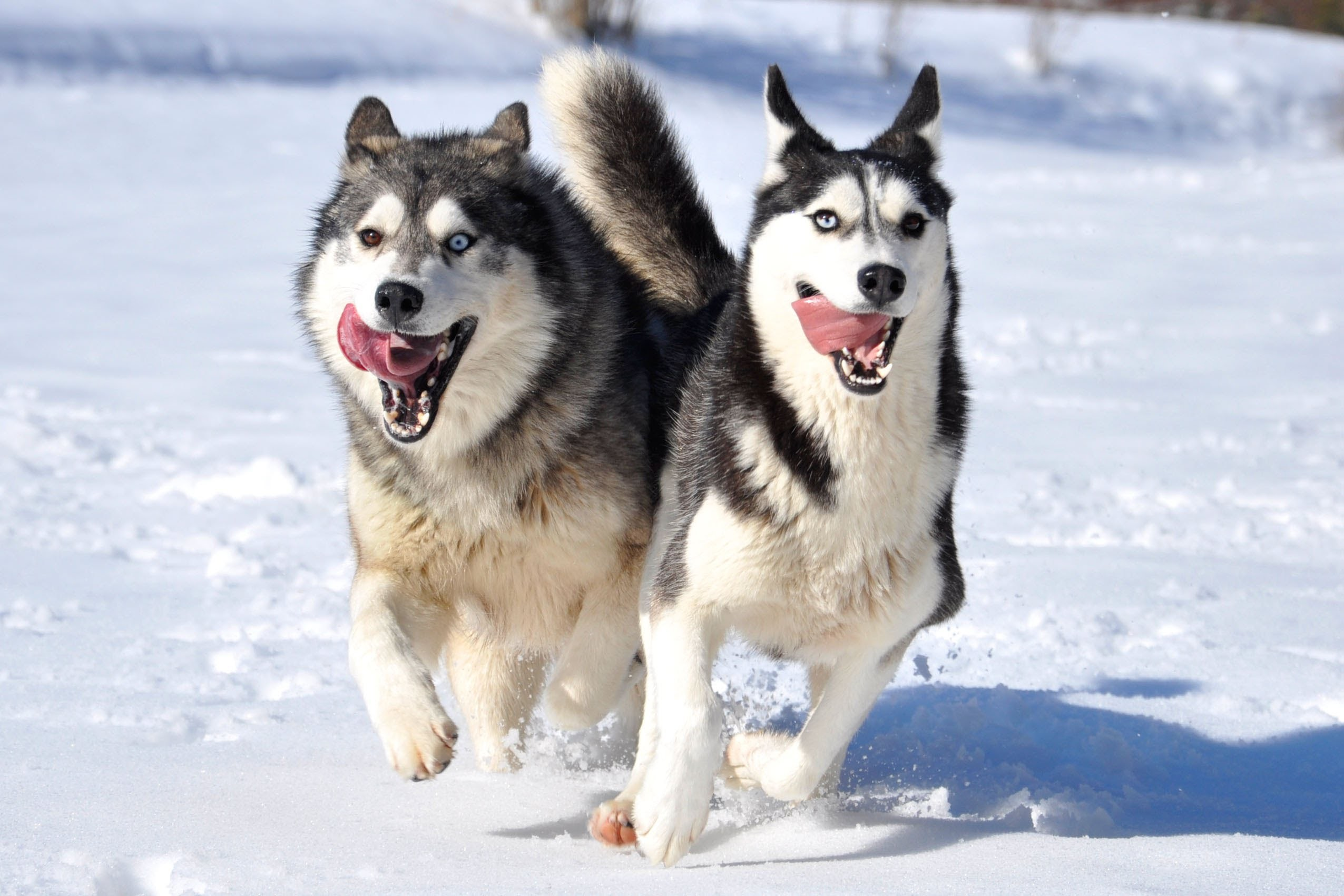 Siberian huskies wallpapers 86 images - Pictures of siberian huskies ...