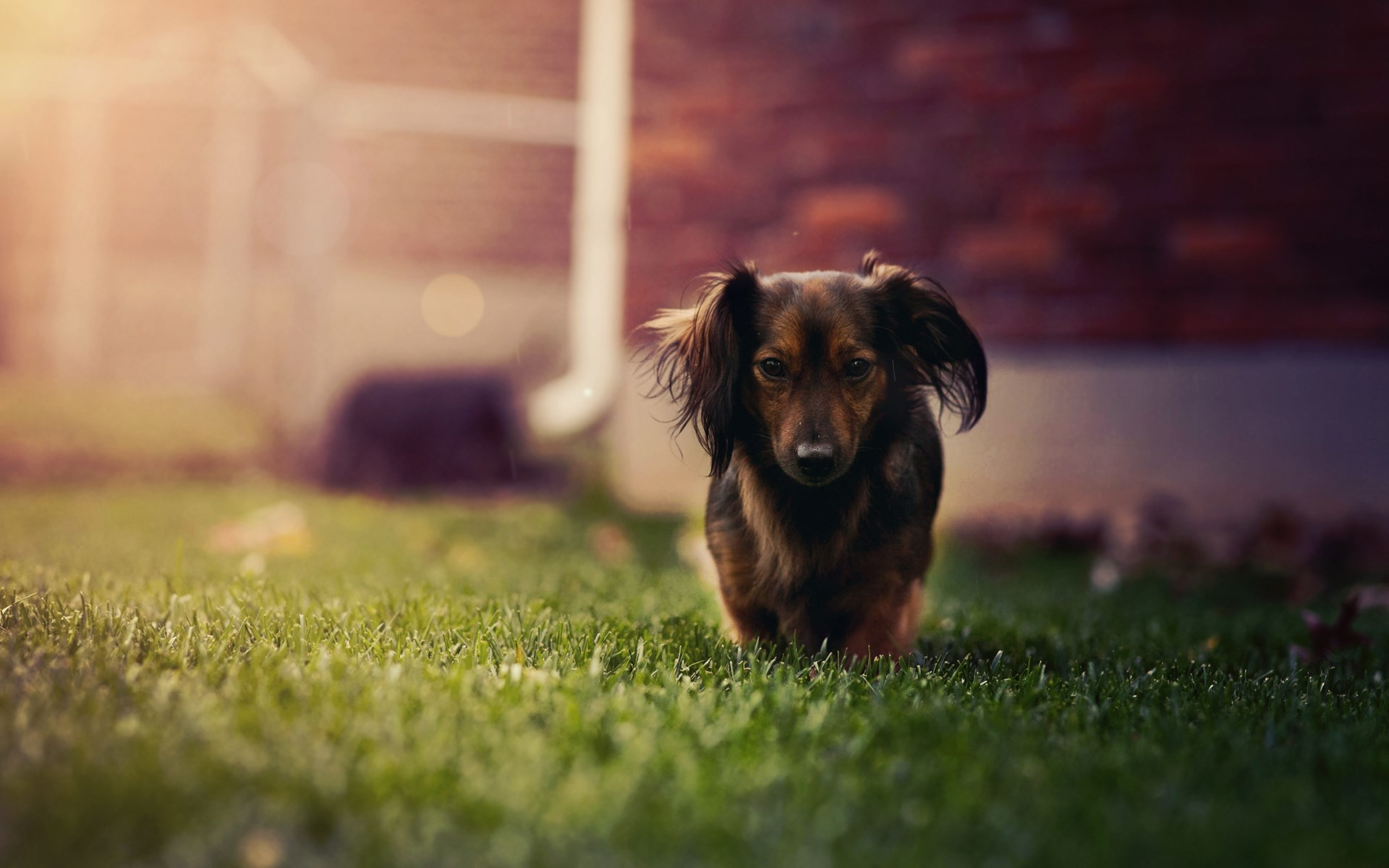 1920x1200 #1947271, dachshund category - HD Widescreen Wallpapers - dachshund pic