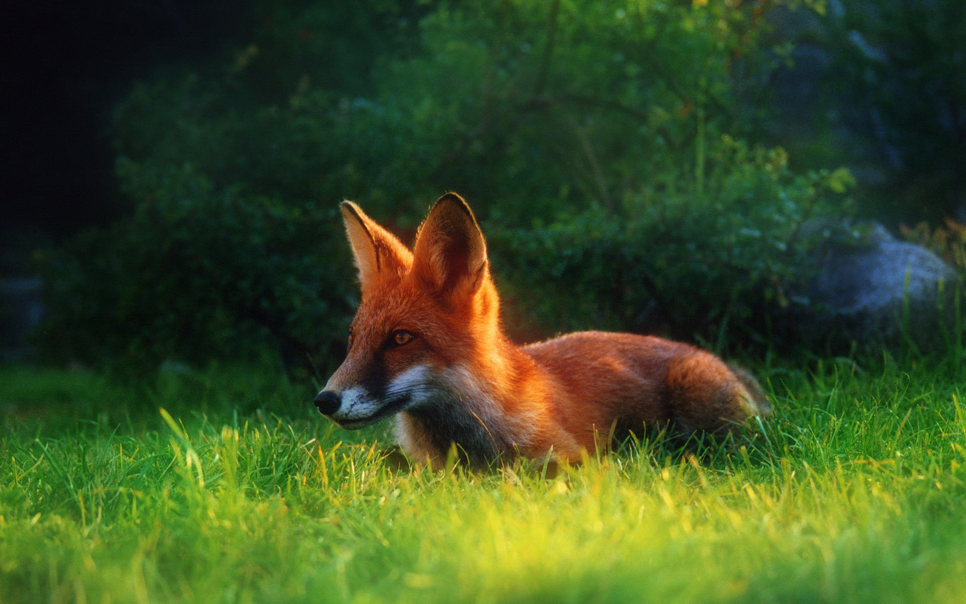 1920x1200 Fox Animal Wallpapers Widescreen HD Wallpapers of Fox Animal