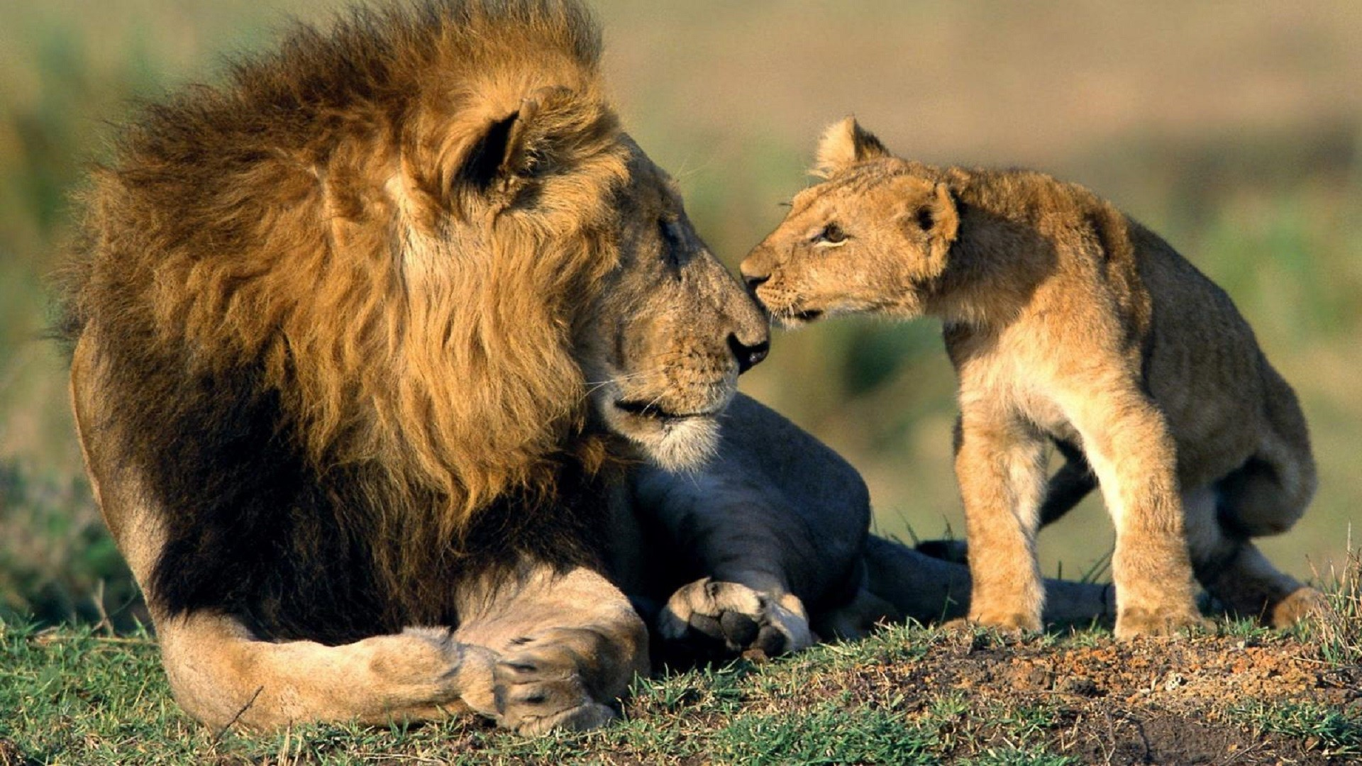 1920x1080 Father-lion-and-cub-lion-hd-free-wallpapers