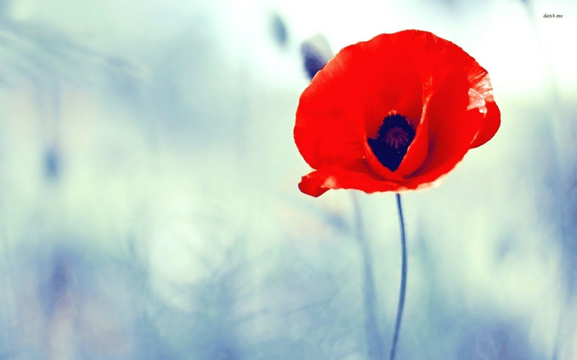 1920x1200 Poppy Flower wallpapers