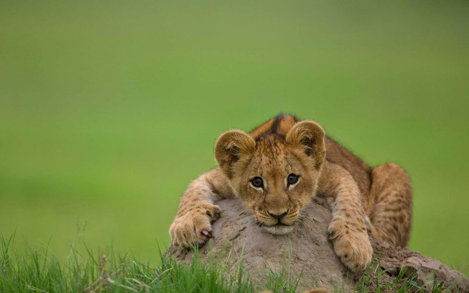 1920x1200 Lion cubs Wallpaper (36286251) - Fanpop