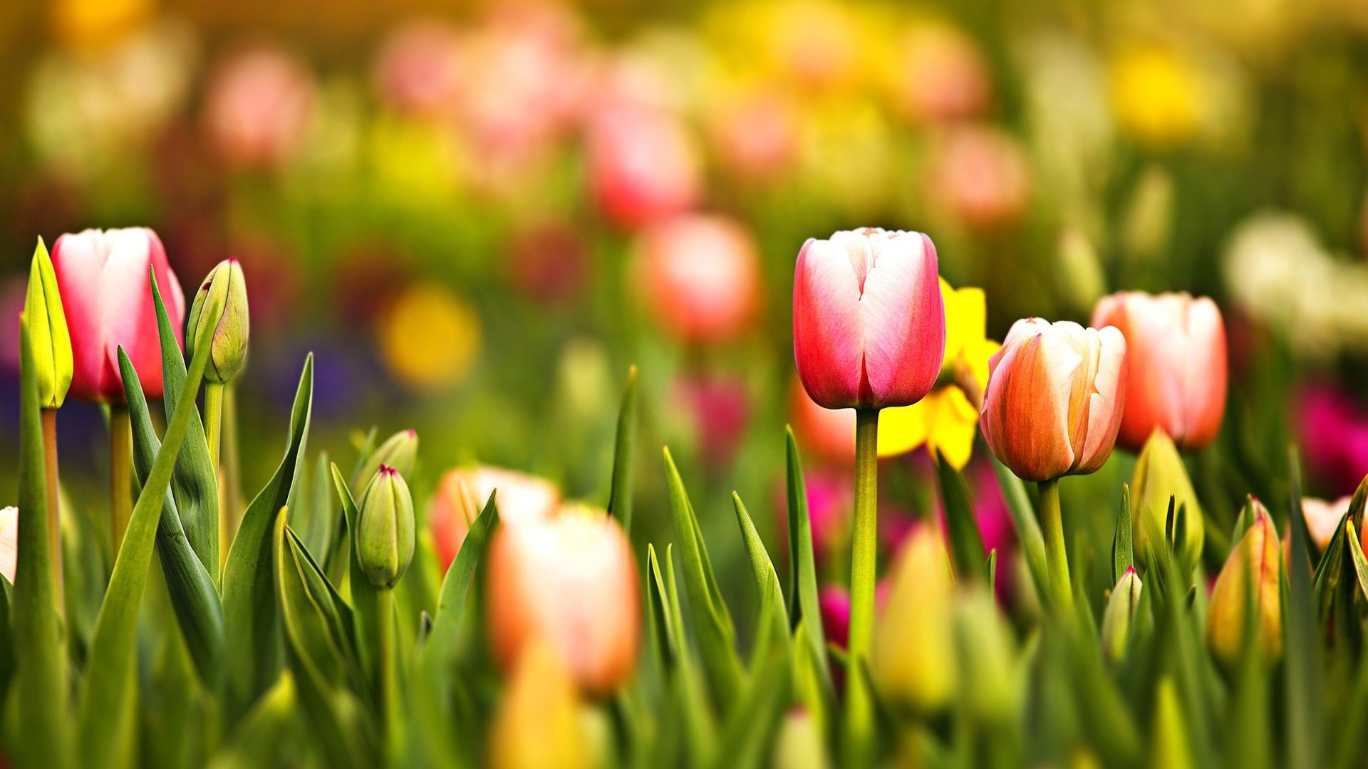 1920x1080 Free Desktop Wallpapers Tulips Wallpapers Wide Tulips HDQ