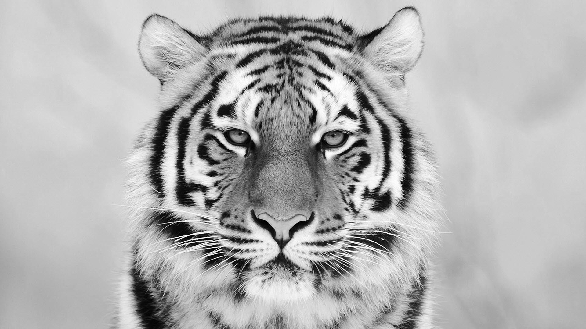 1920x1080 White Tiger Wallpaper
