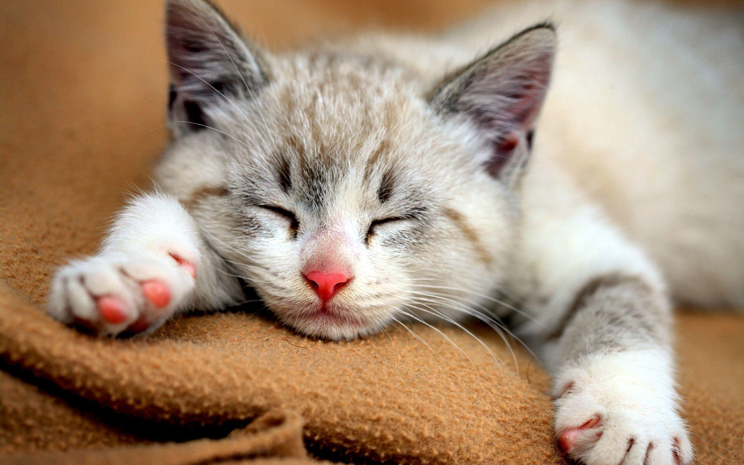 2560x1600 Cute Cat Wallpaper Full Widescreen 60401