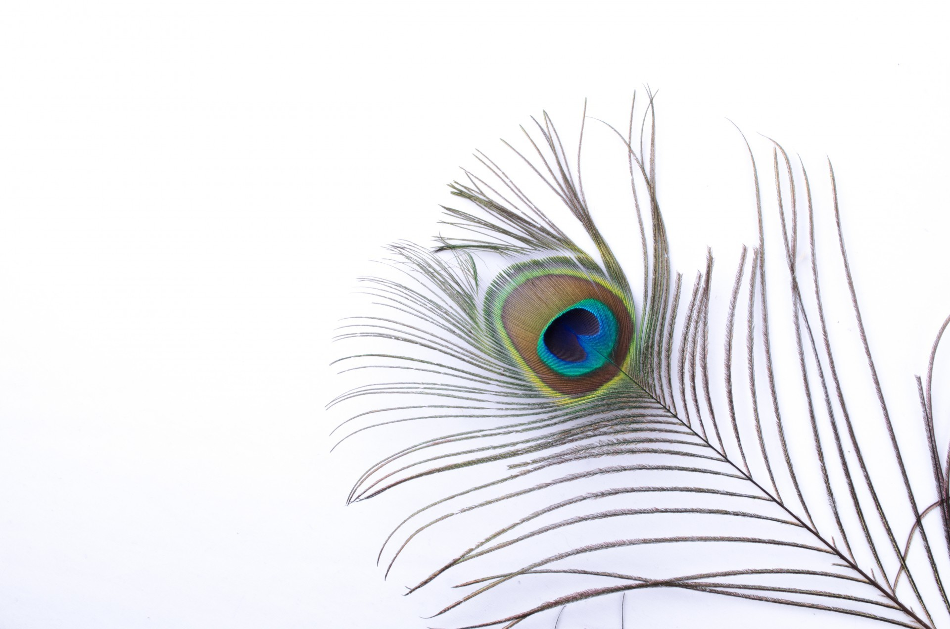 1920x1271 Peacock Feather