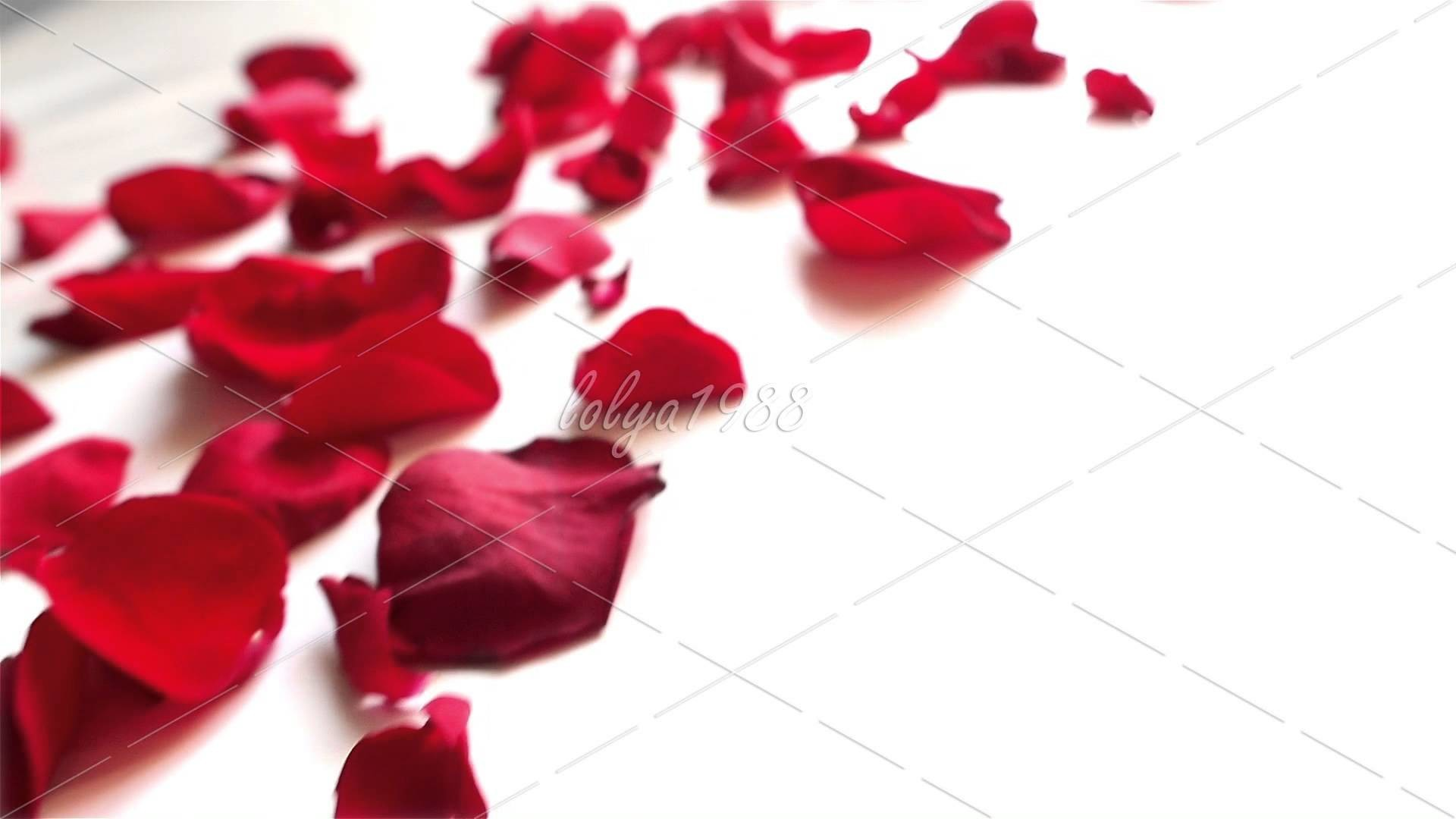 1920x1080  Red rose petals on white background · Download · rose ...